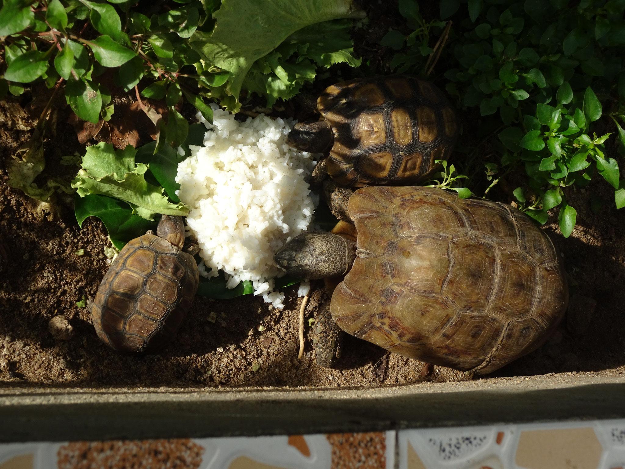 Kignixys auch Gelenkschildkröten genannt.