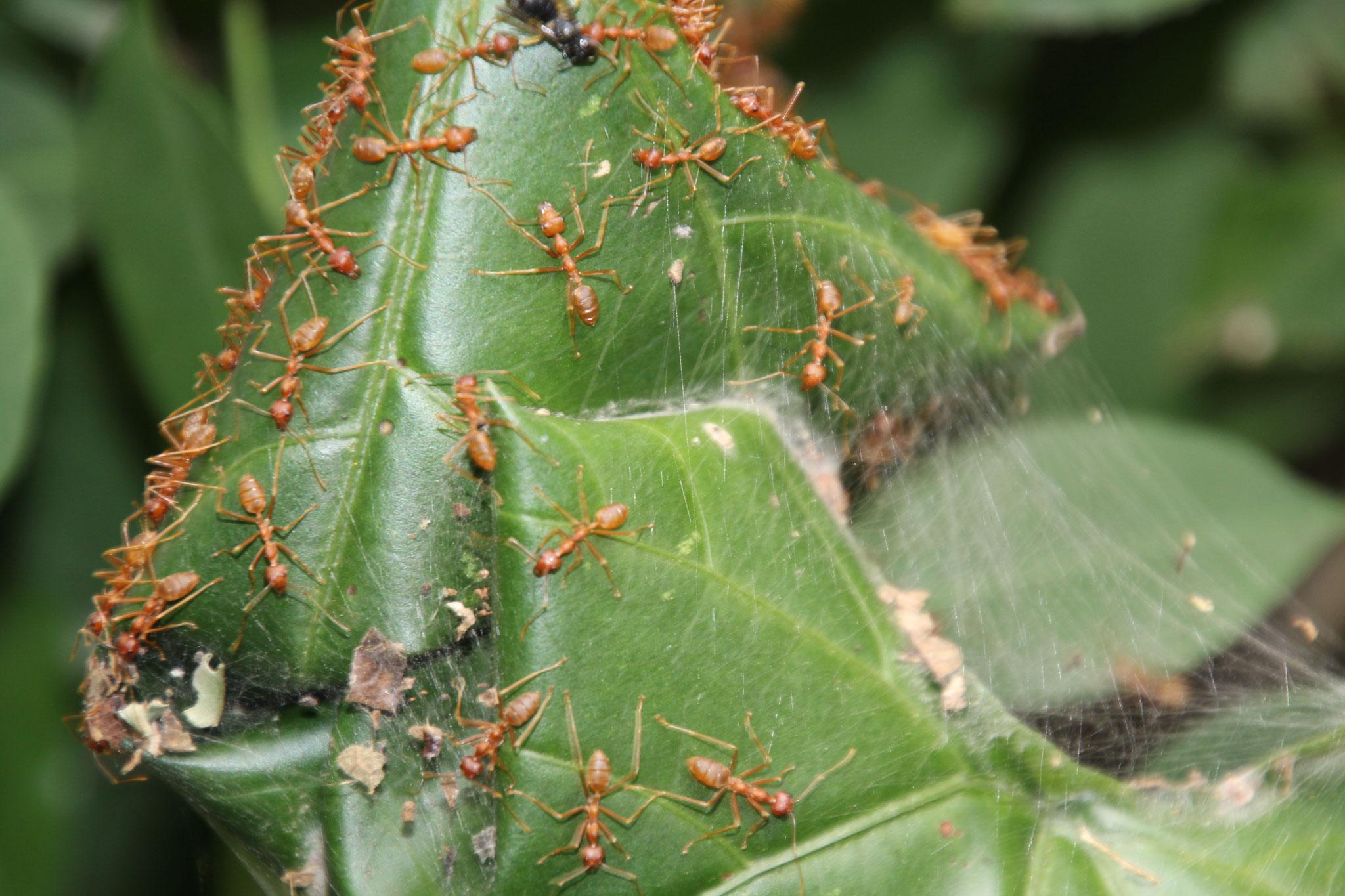 Ameisen beim Nestbau.