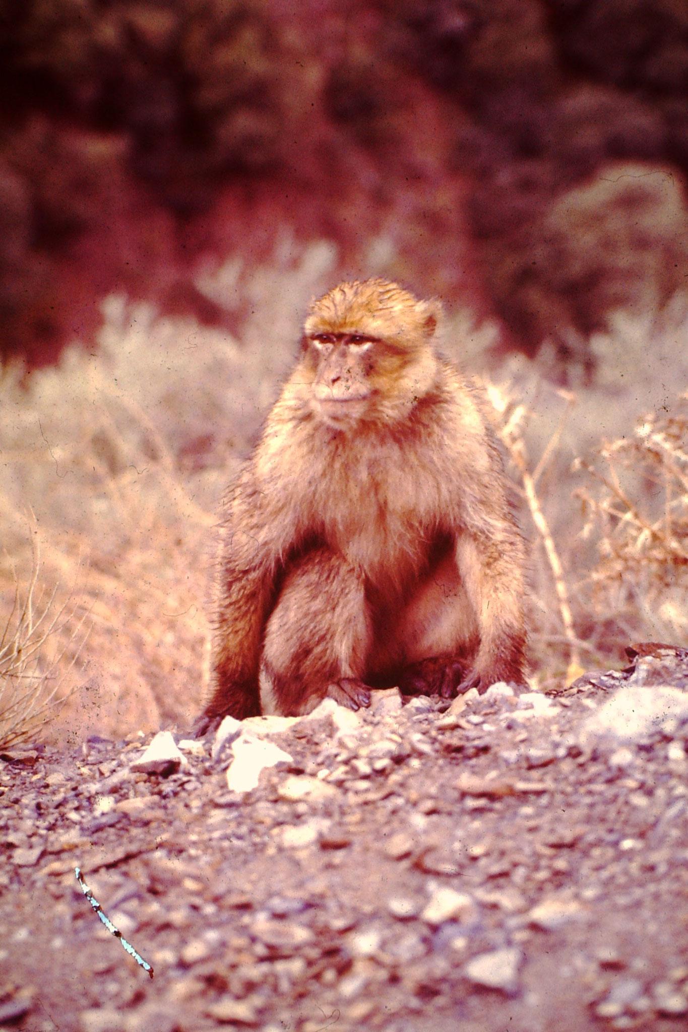 Berberaffe. Solche Affen wurden auch in Gibraltar angesiedelt.