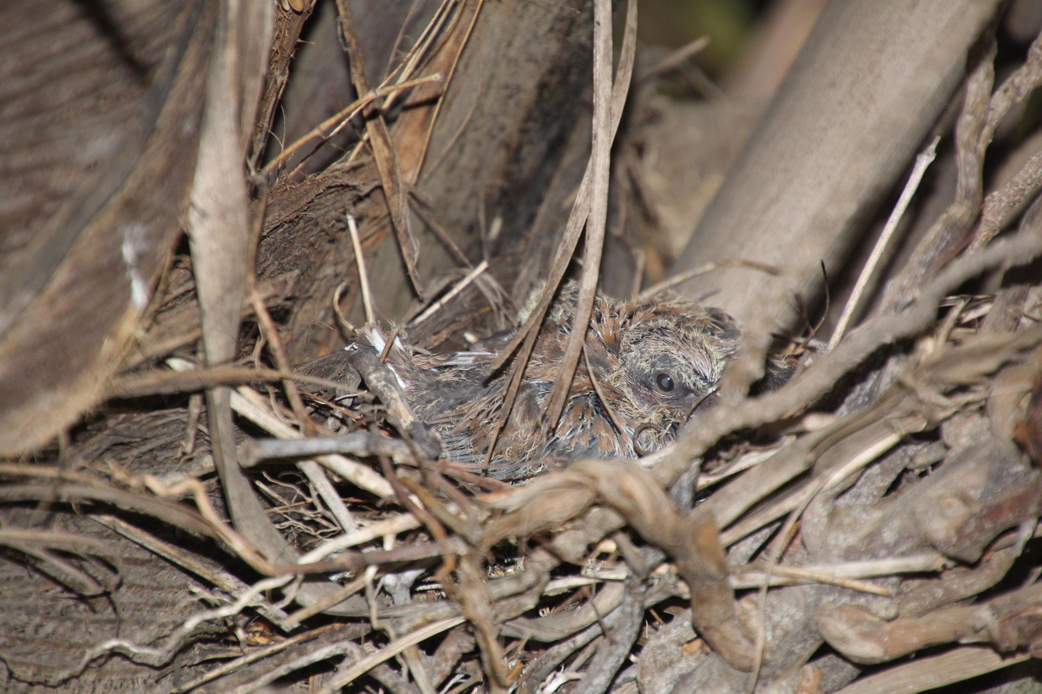 Auf der Kokospalme hat eine Palmtaube 2 Junge aufgezogen.