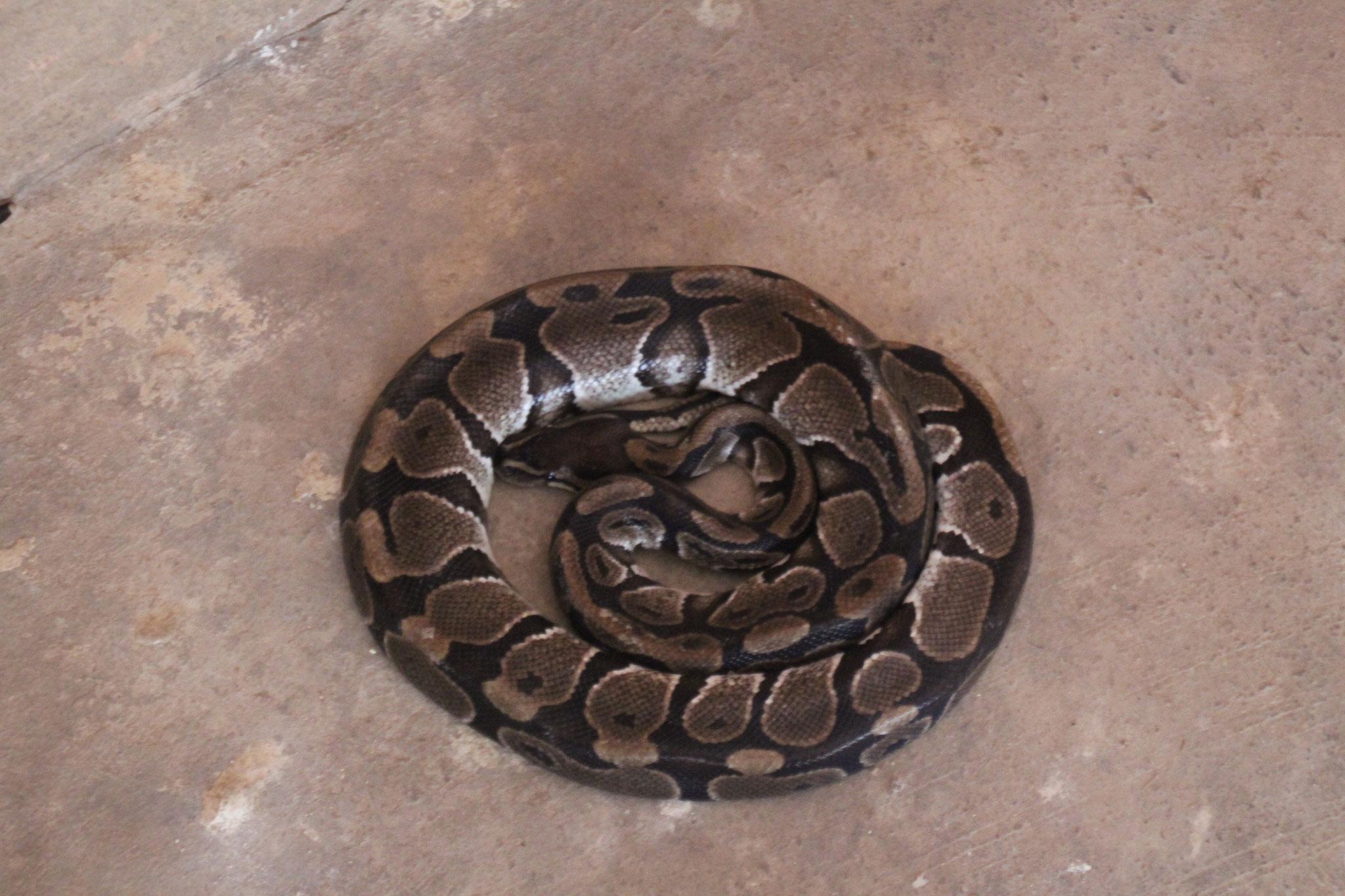 Weibliche Python.