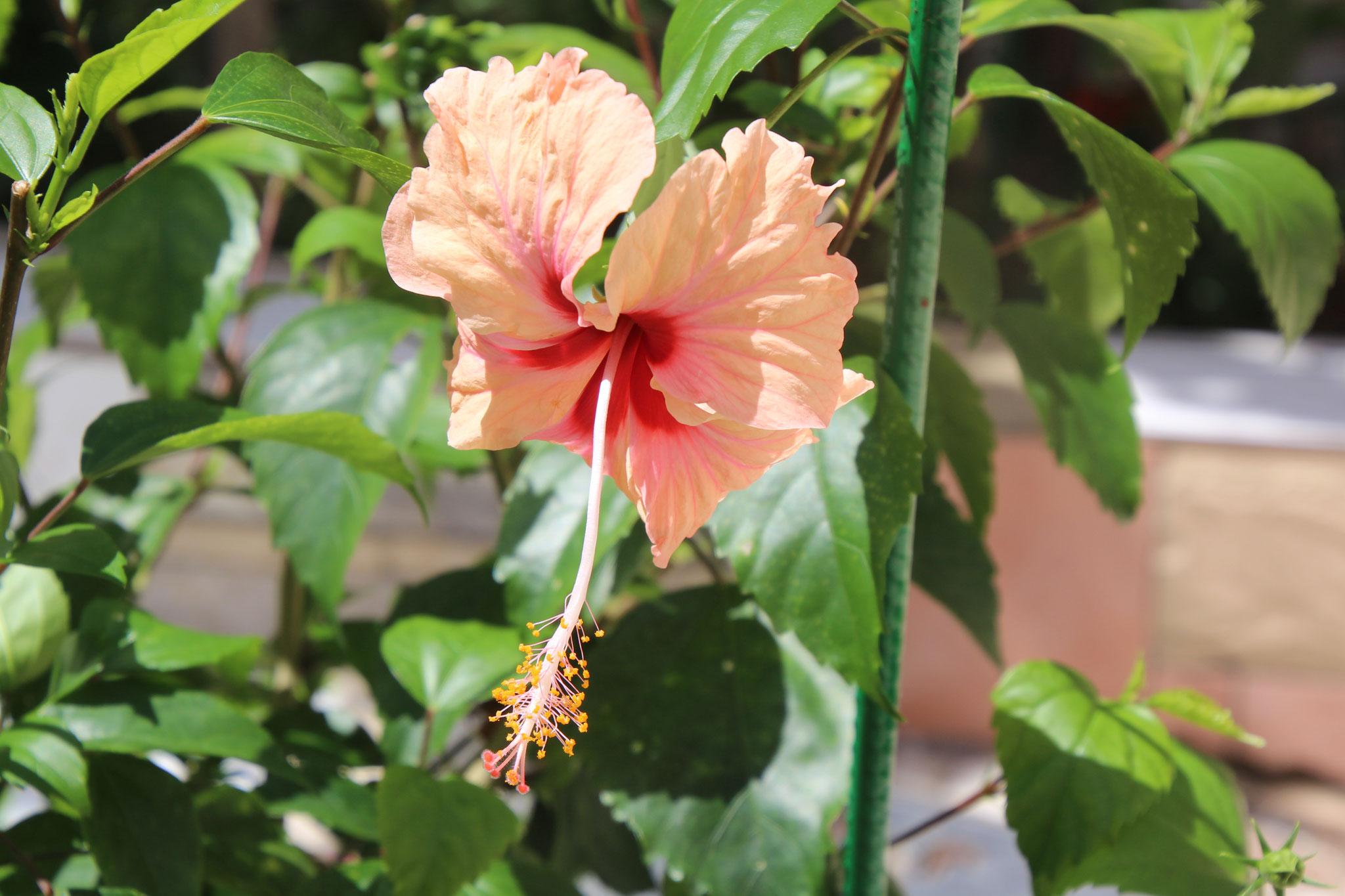 Rosa Hibiskus,  auch Hibiskus haben wie in den verschiedensten Farben.