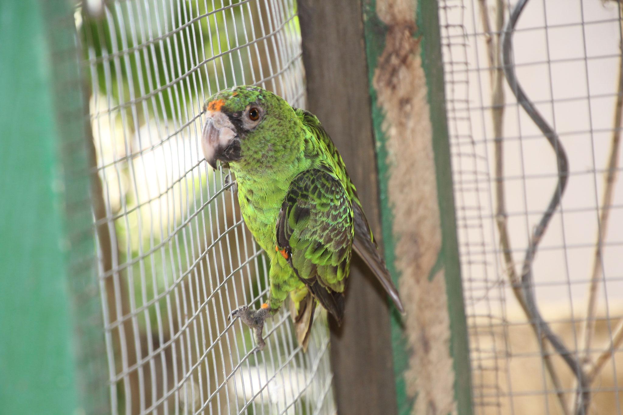 Neu in der Voliere der Papageien Kongopapageien.