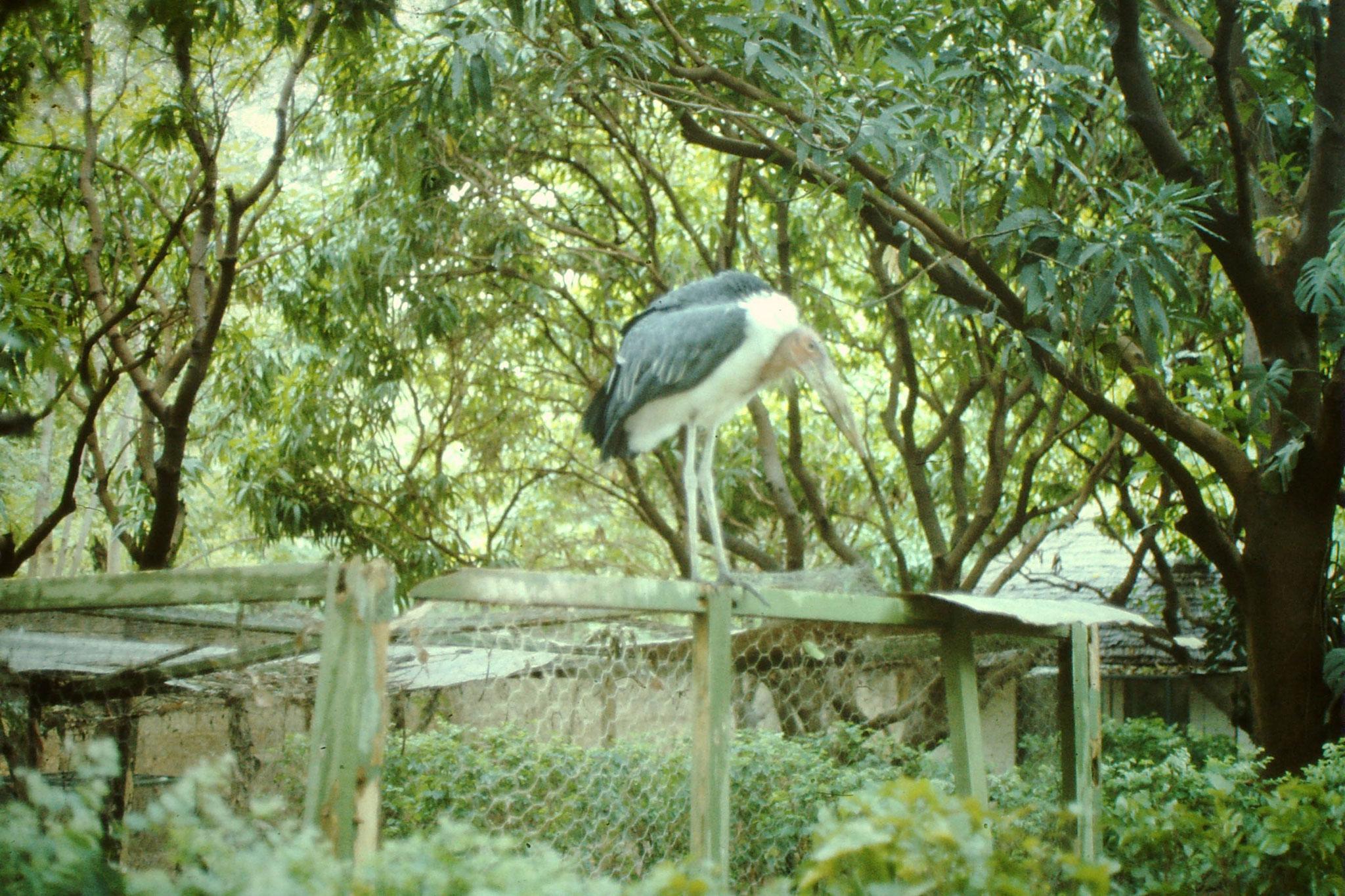 Marabu Im Zoo von Ouagadougou.