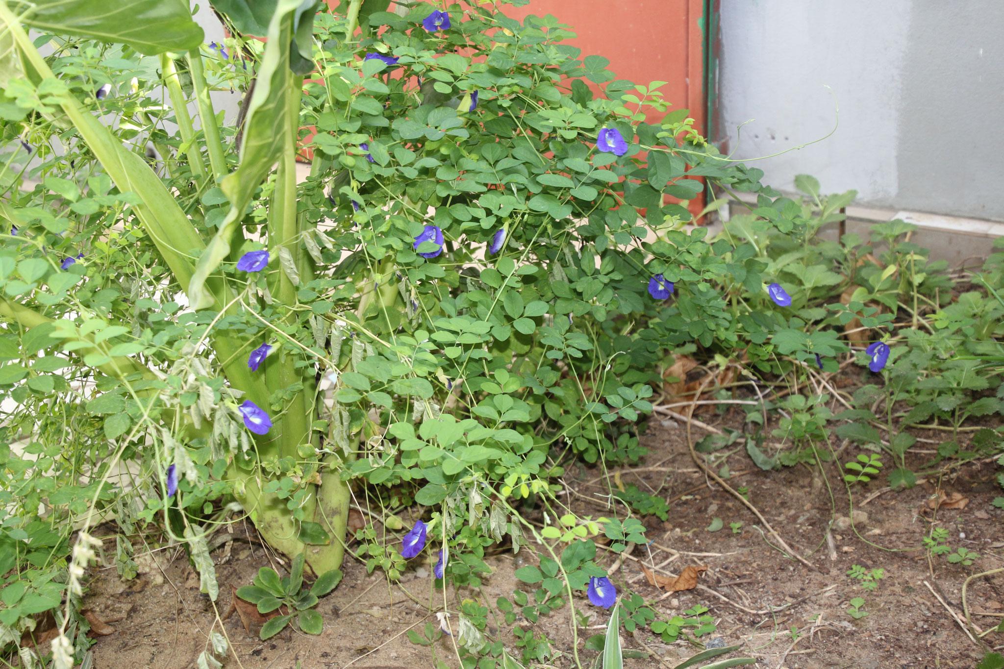 Das ist eine Schlingpflanze.