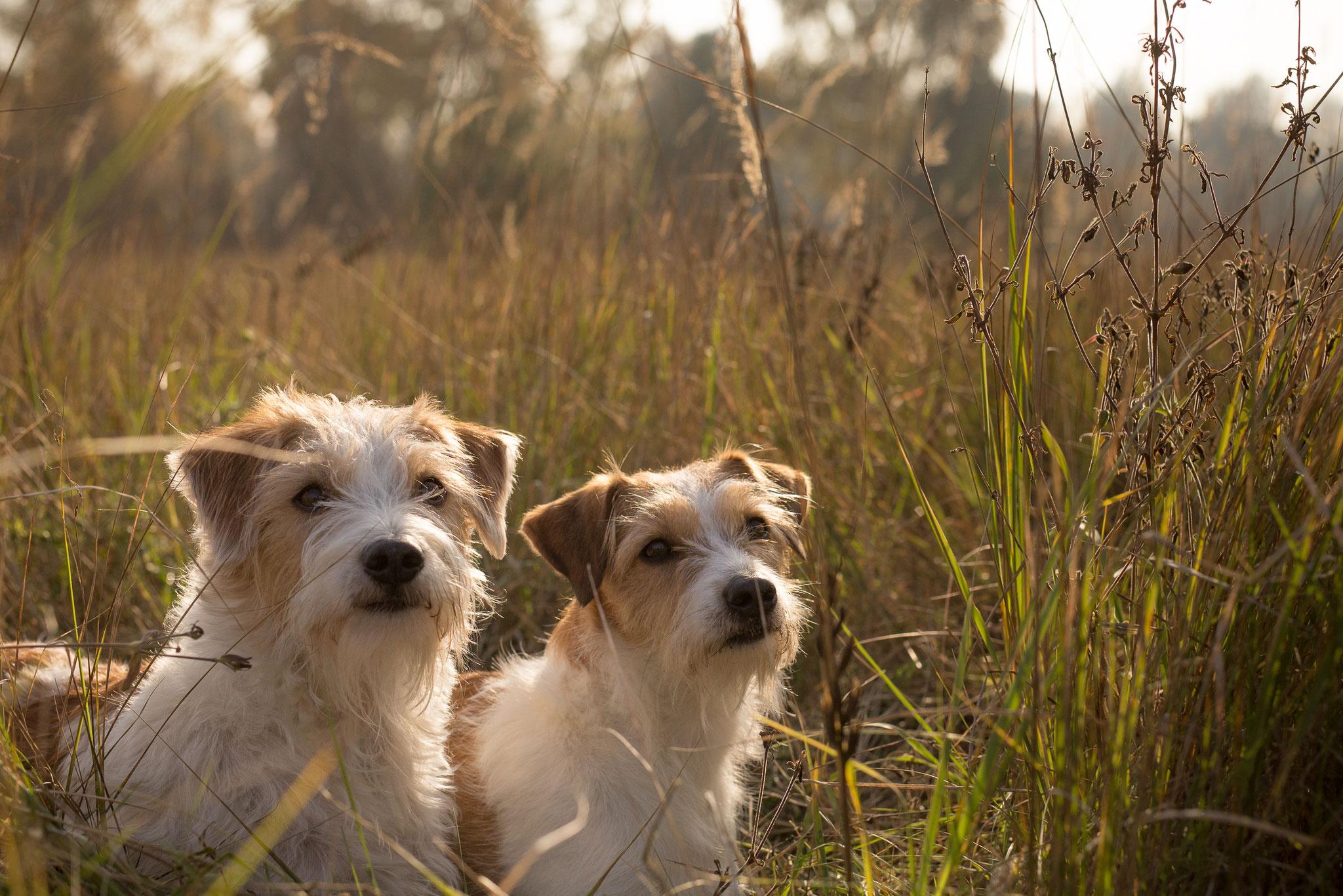 Happy vom rauhen Stein und Avanti vom langen Fuchsbau Herbst 2015