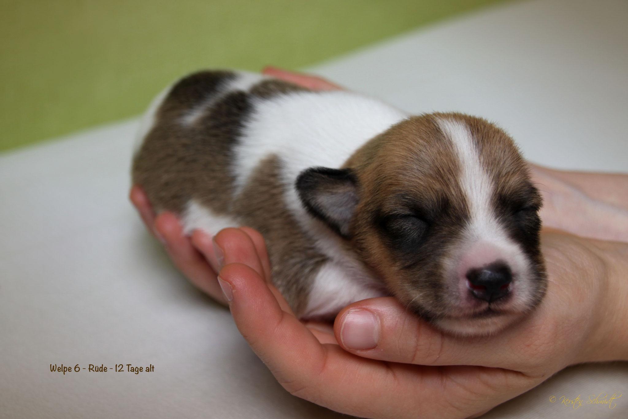 Charming Dexter 12 Tage alt
