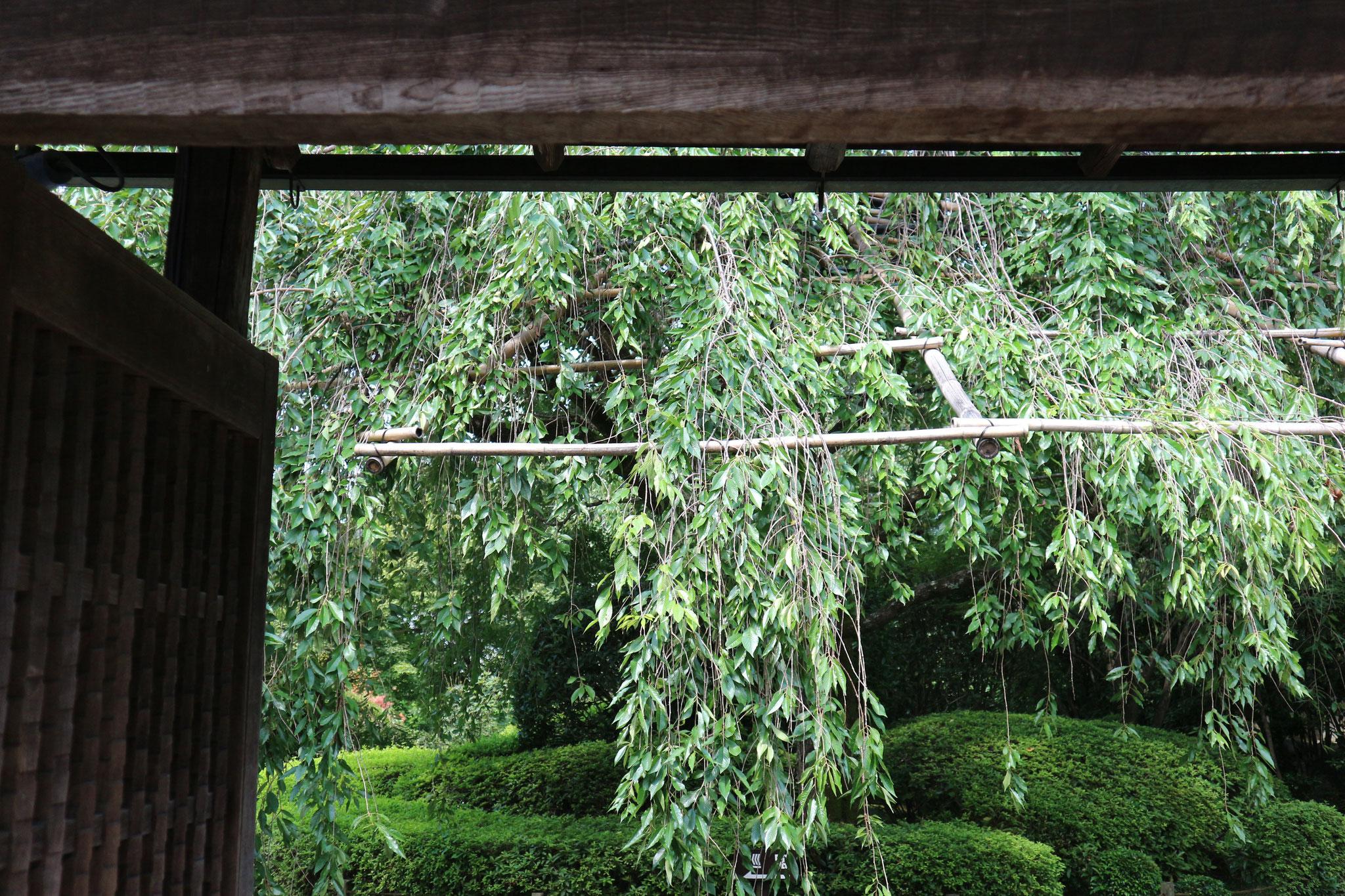退蔵院余香園入口の大枝垂れ桜