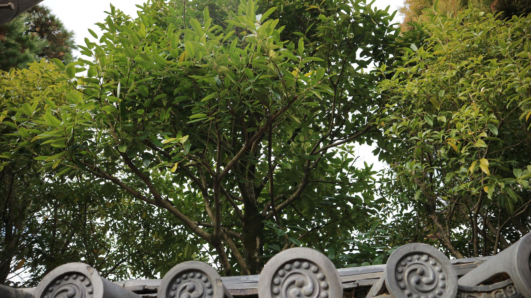 多羅葉 (たらよう)の木