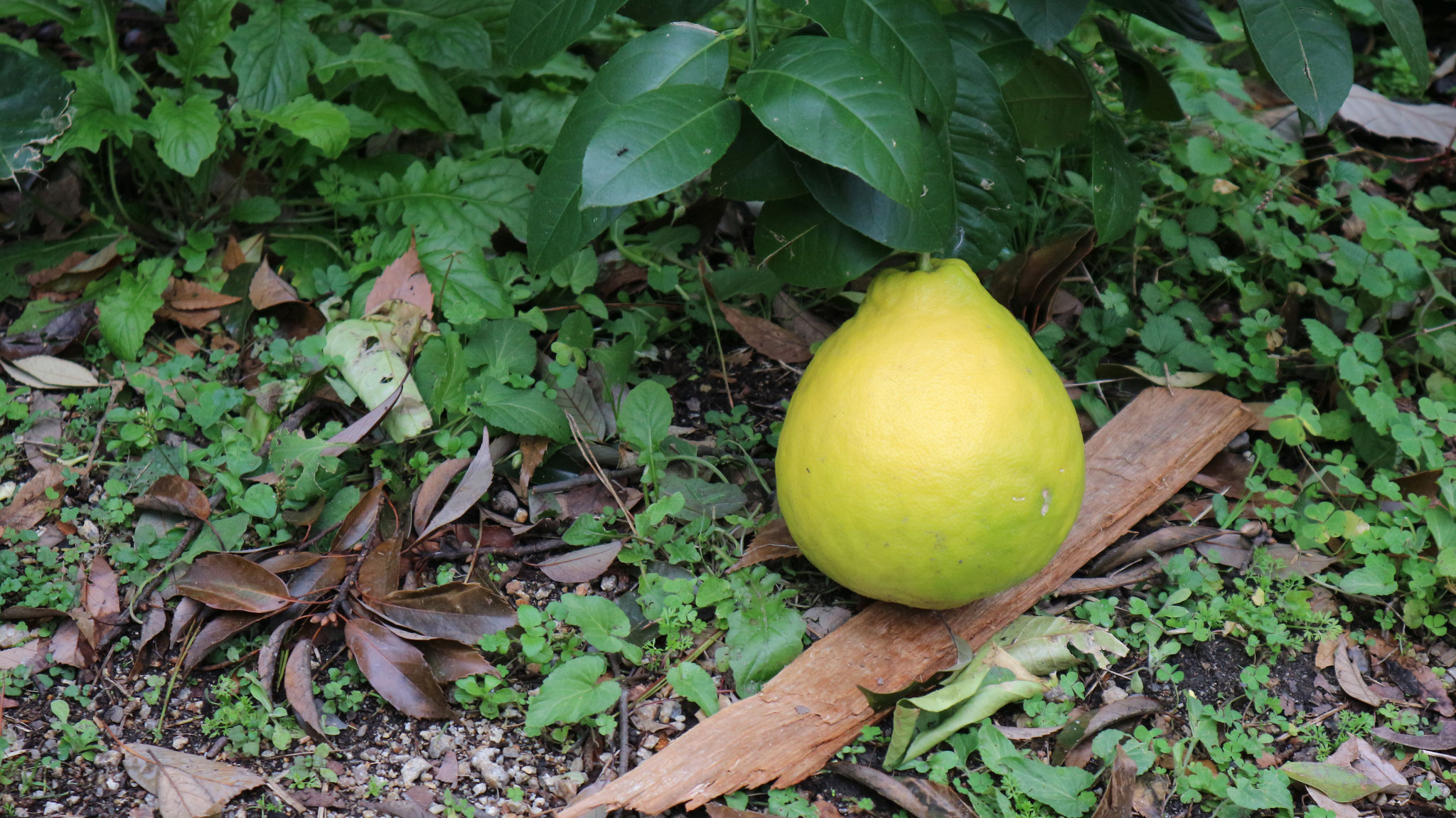 栽培中の大きな柑橘類