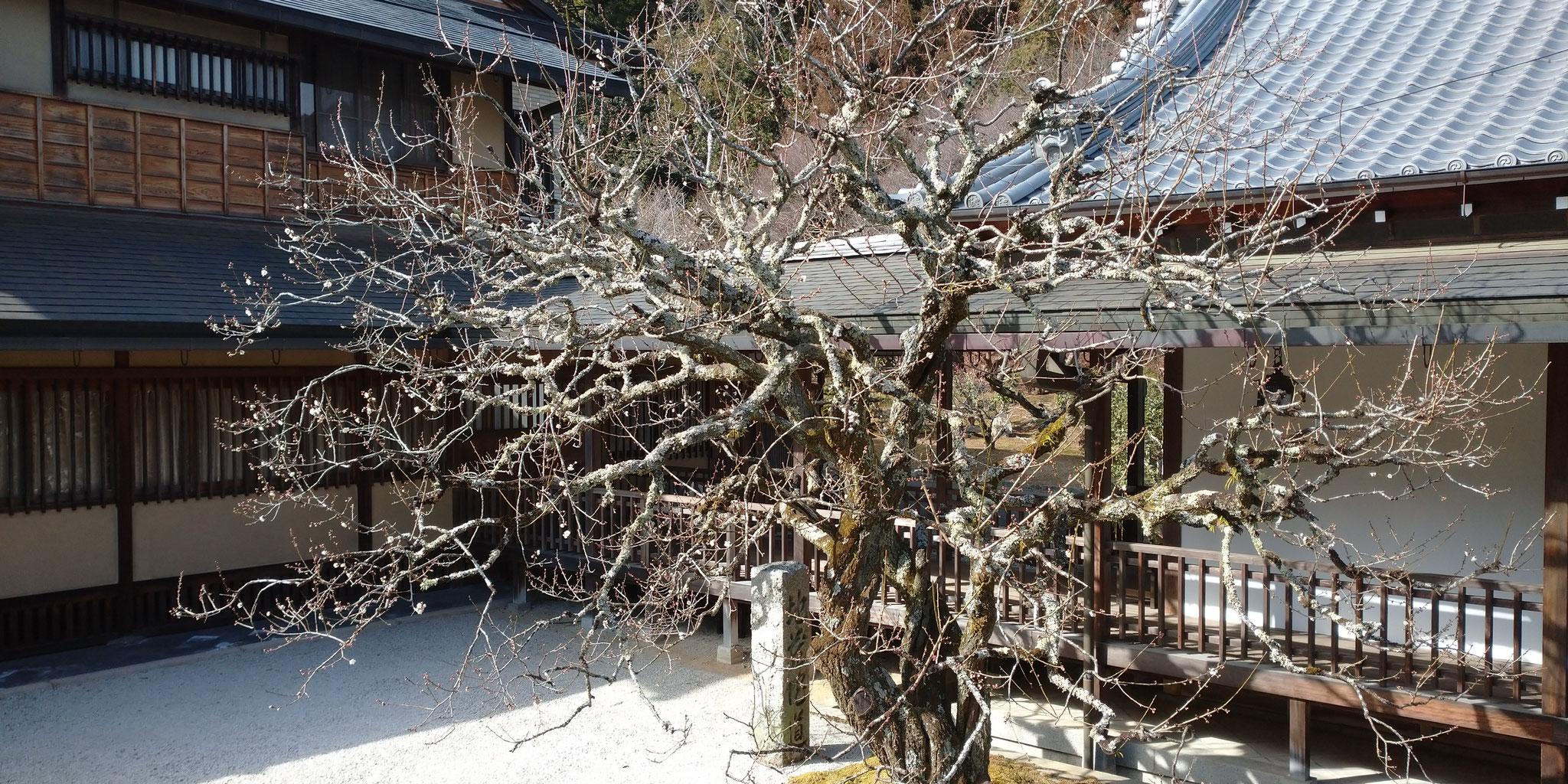本堂裏の梅の木