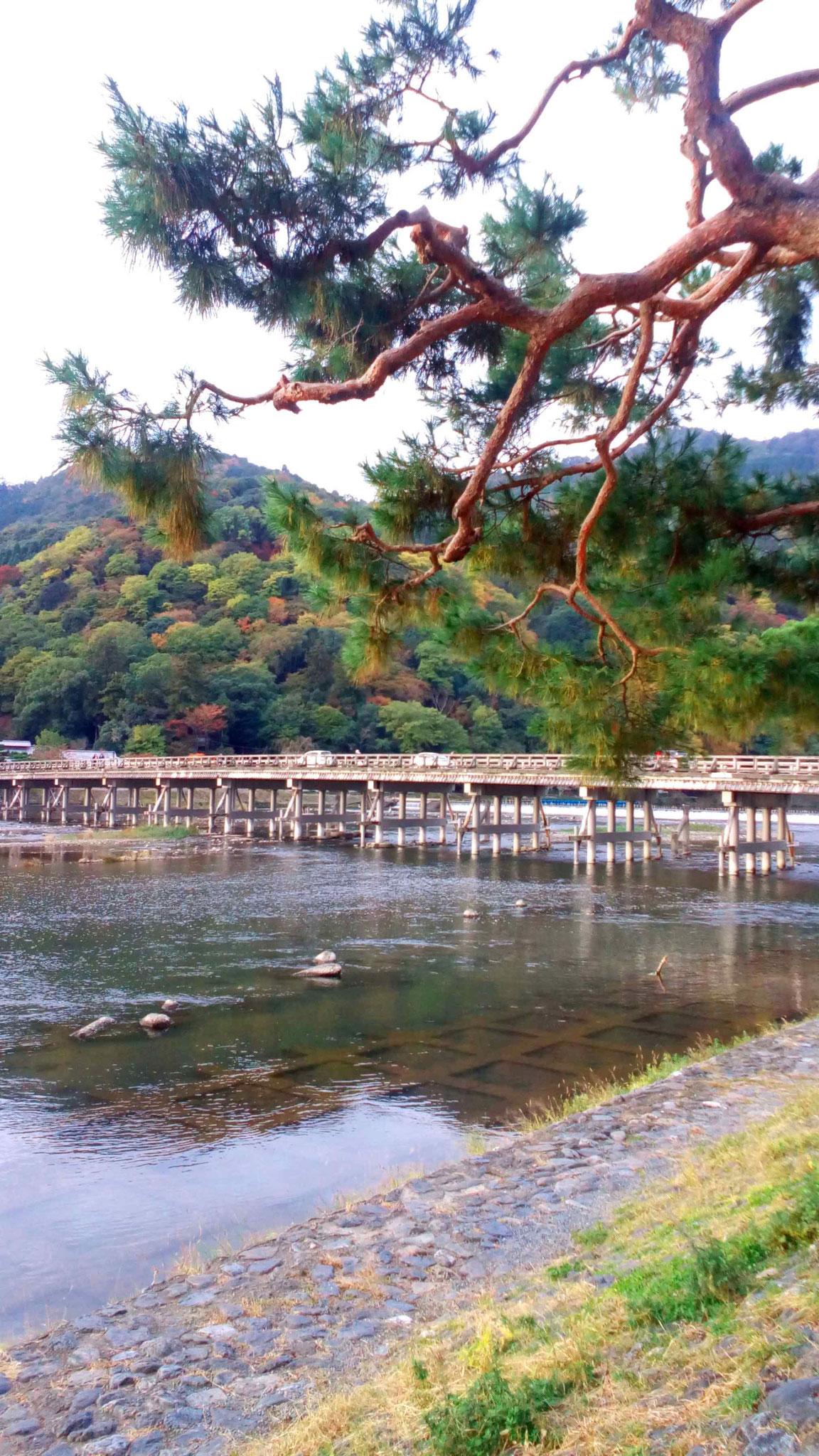 赤松と渡月橋