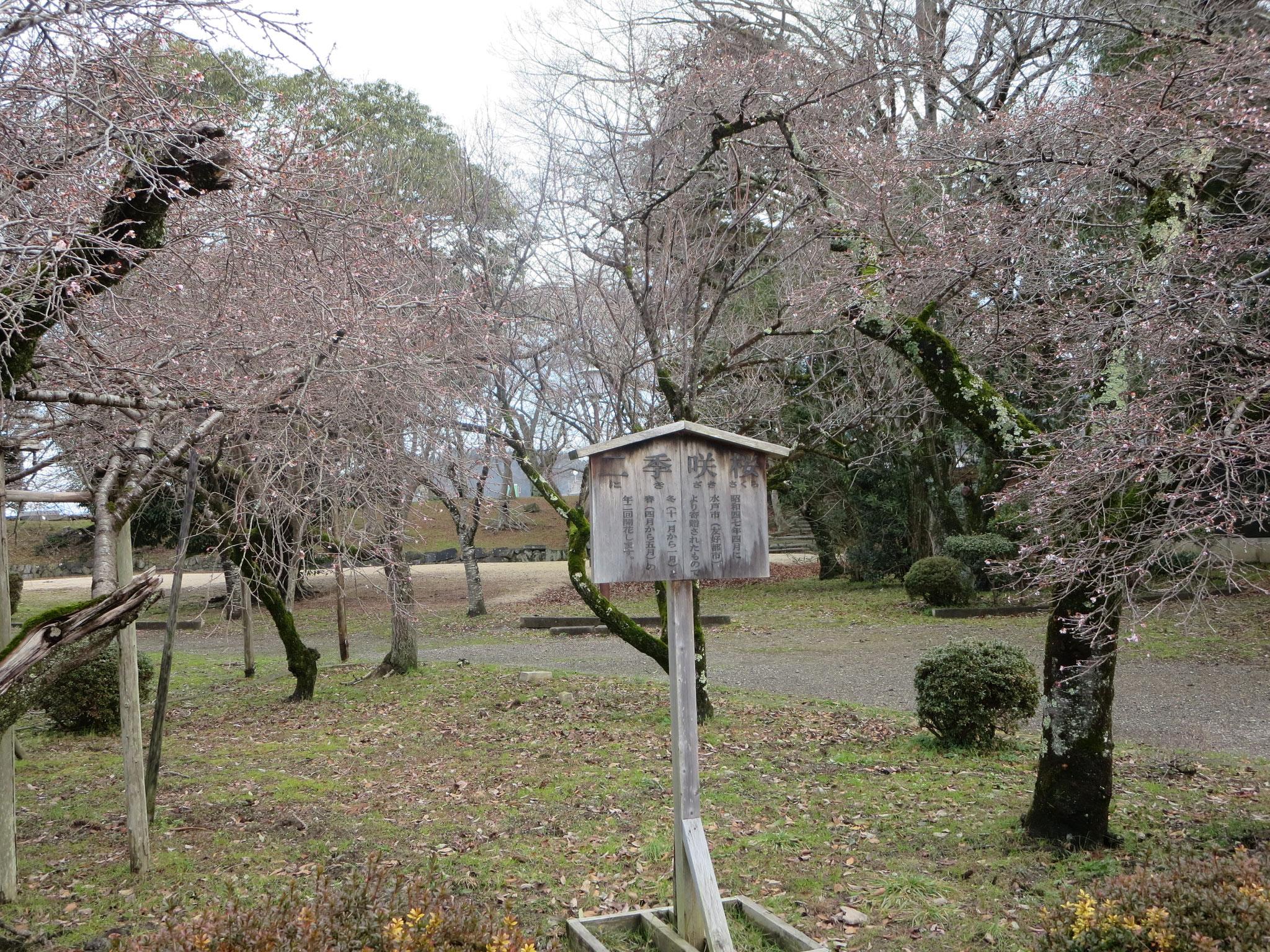 二期咲き桜 水戸藩寄進   冬と春に開花