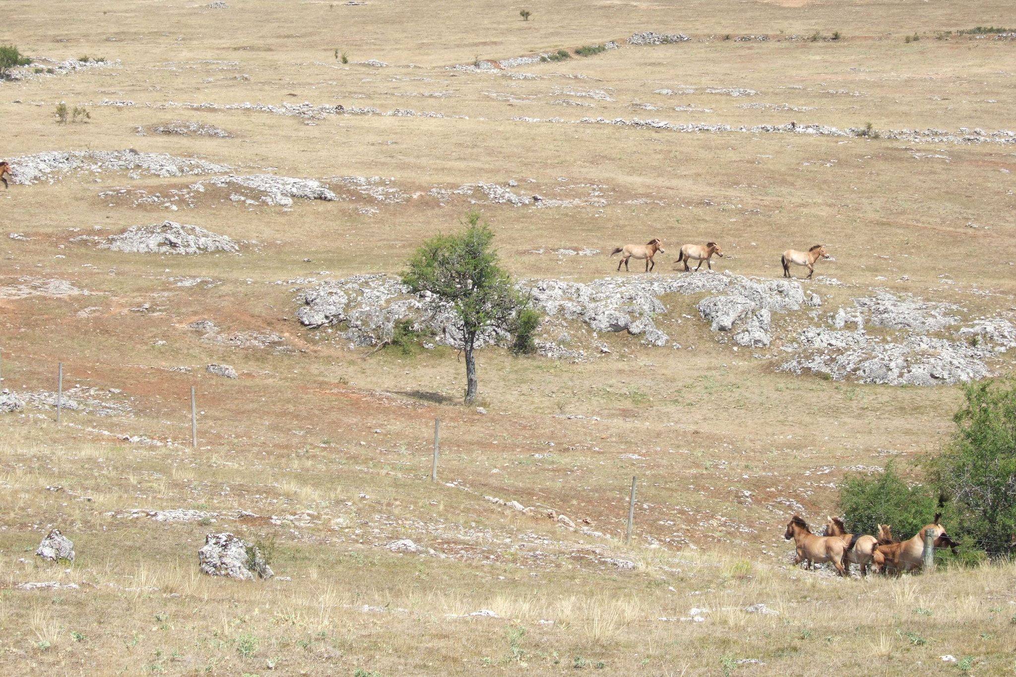 Causse Méjean: les chevaux de Przewalski