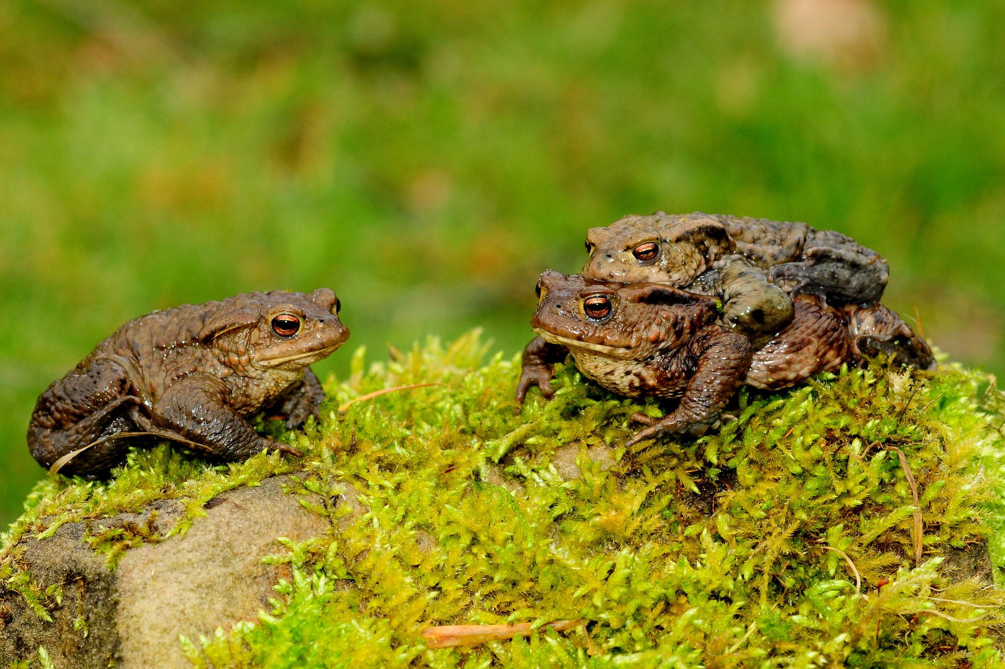 Foto: Armin Siemering; Erdkröten