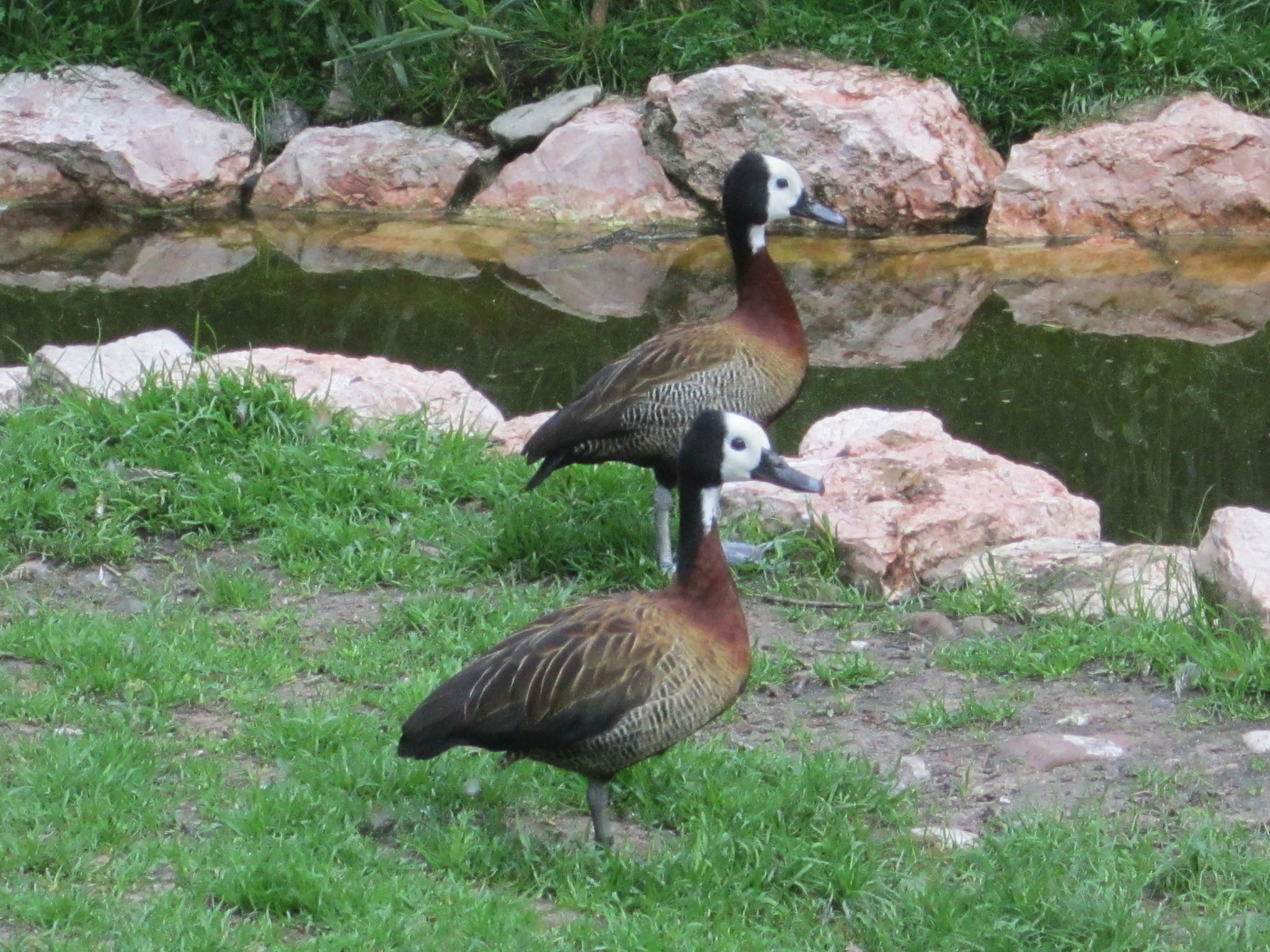 Witwenpfeifgänse im Weltvogelpark Walsrode