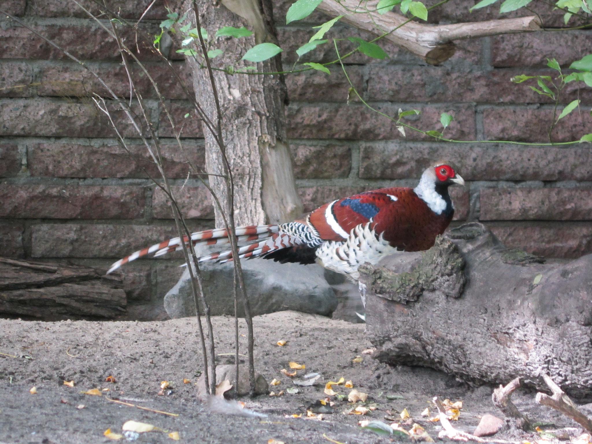 1,0 Elliotfasan im Tierpark Berlin