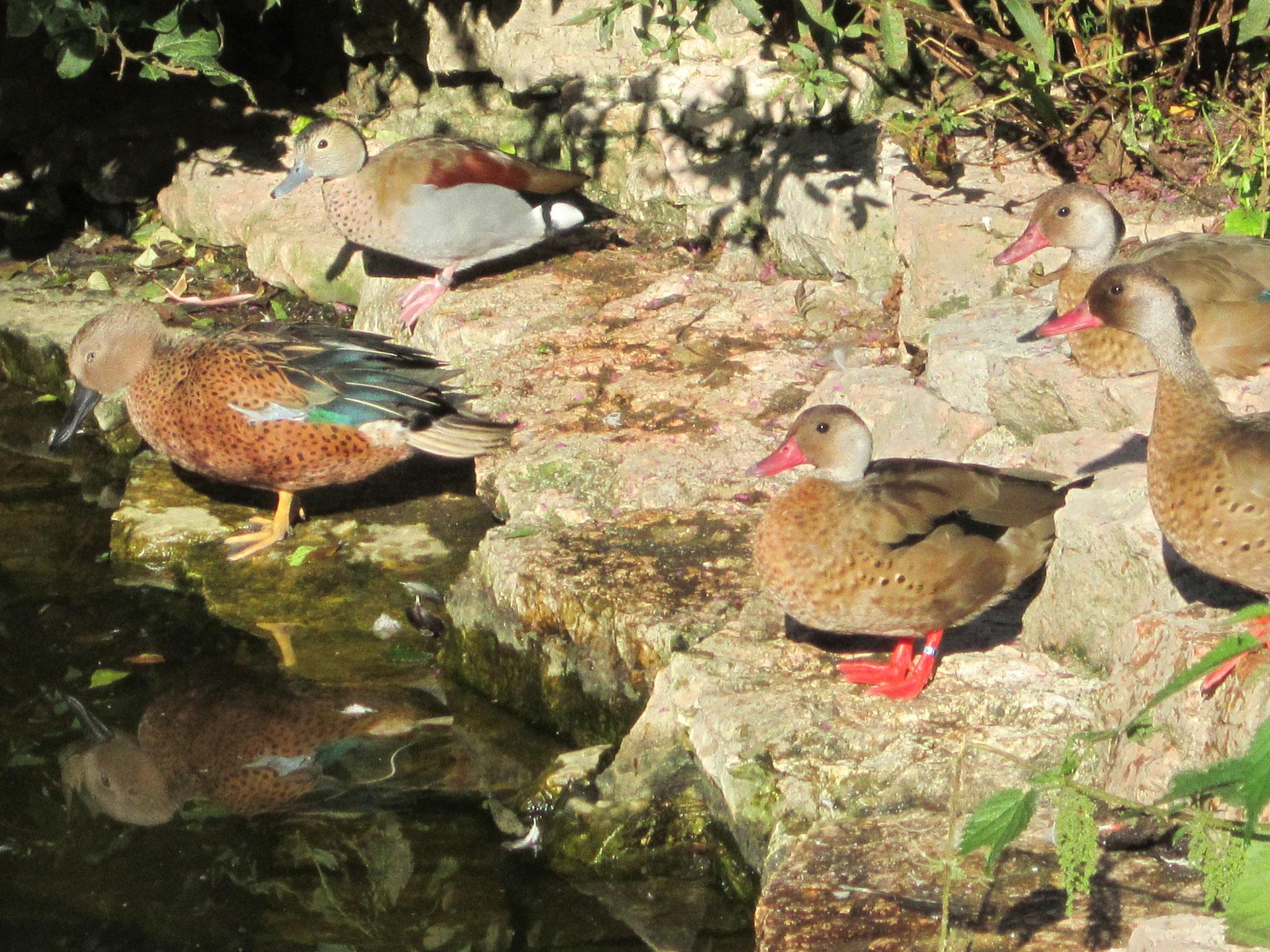 Fuchs-Löffelenten, Rotschulterenten und Kleine Amazonasenten im Weltvogelpark Walsrode