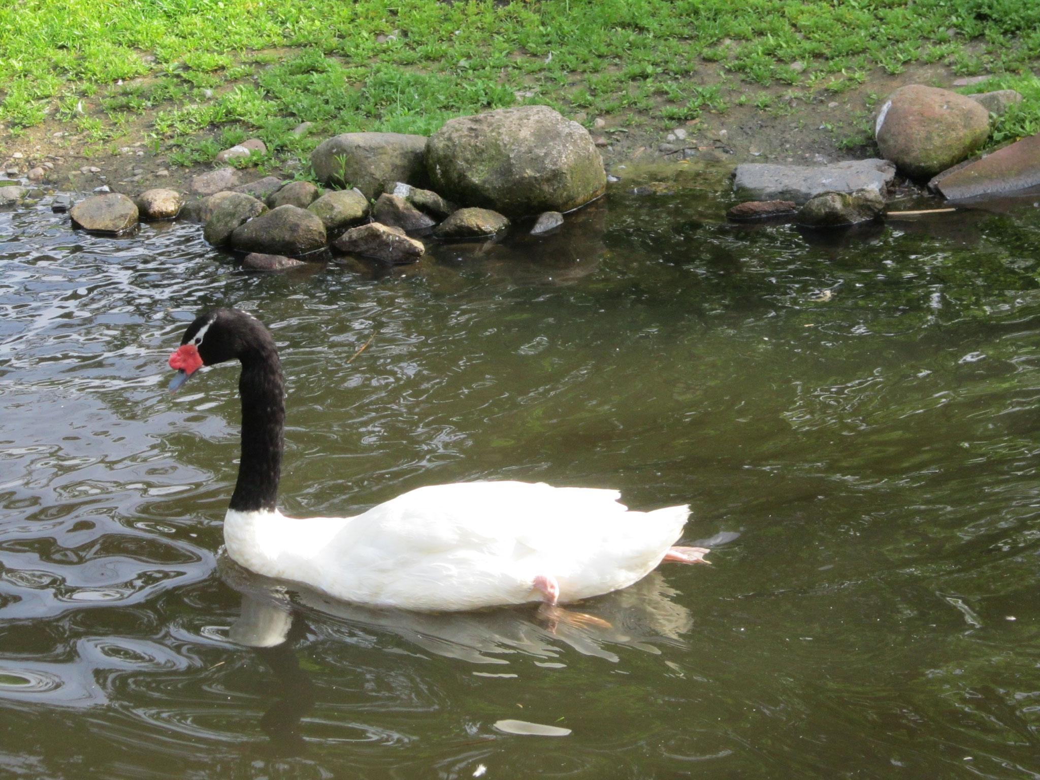 Schwarzhalsschwan im Weltvogelpark Walsrode