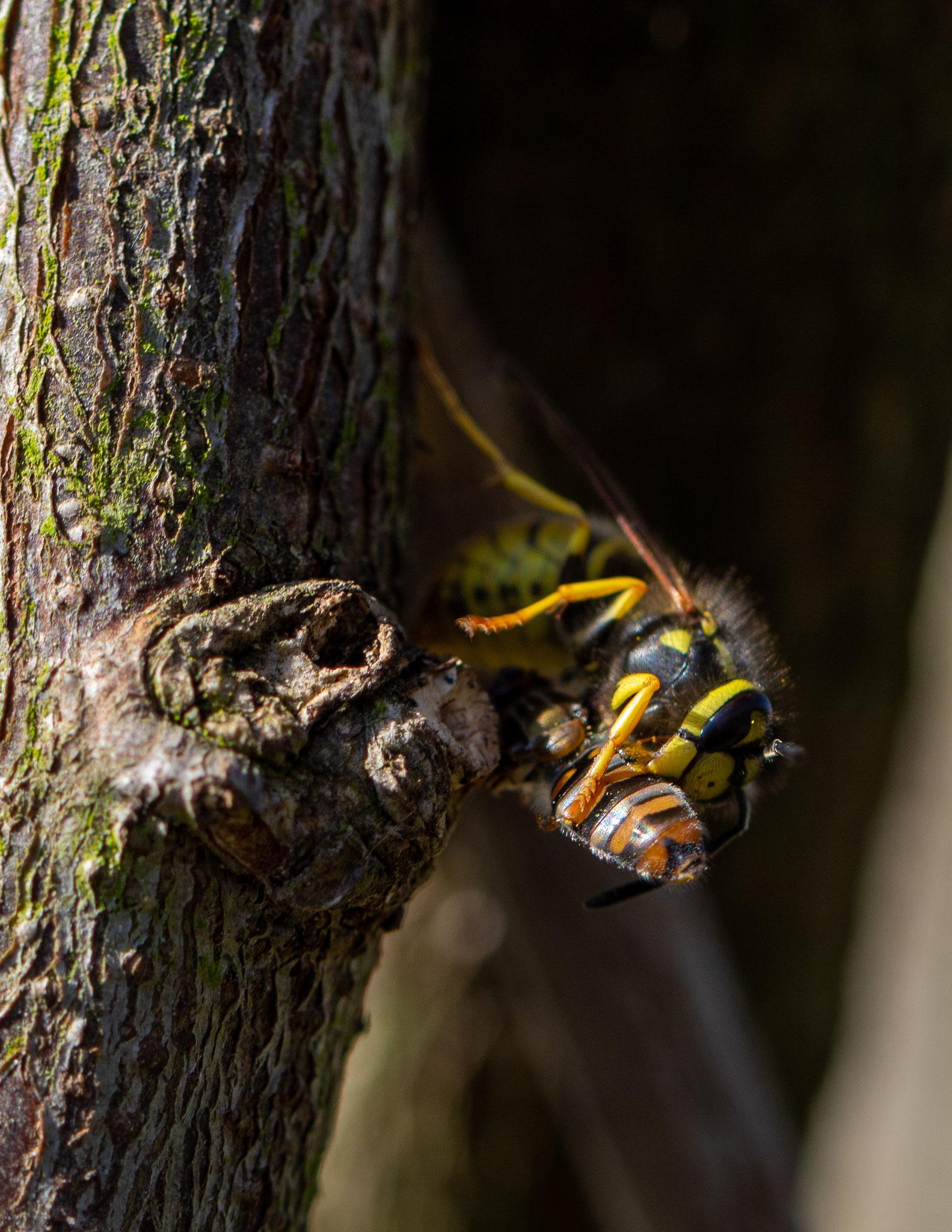 Gemeine Wespe frisst Hainschwebfliege (Foto: Dr. Ute Nieveler)