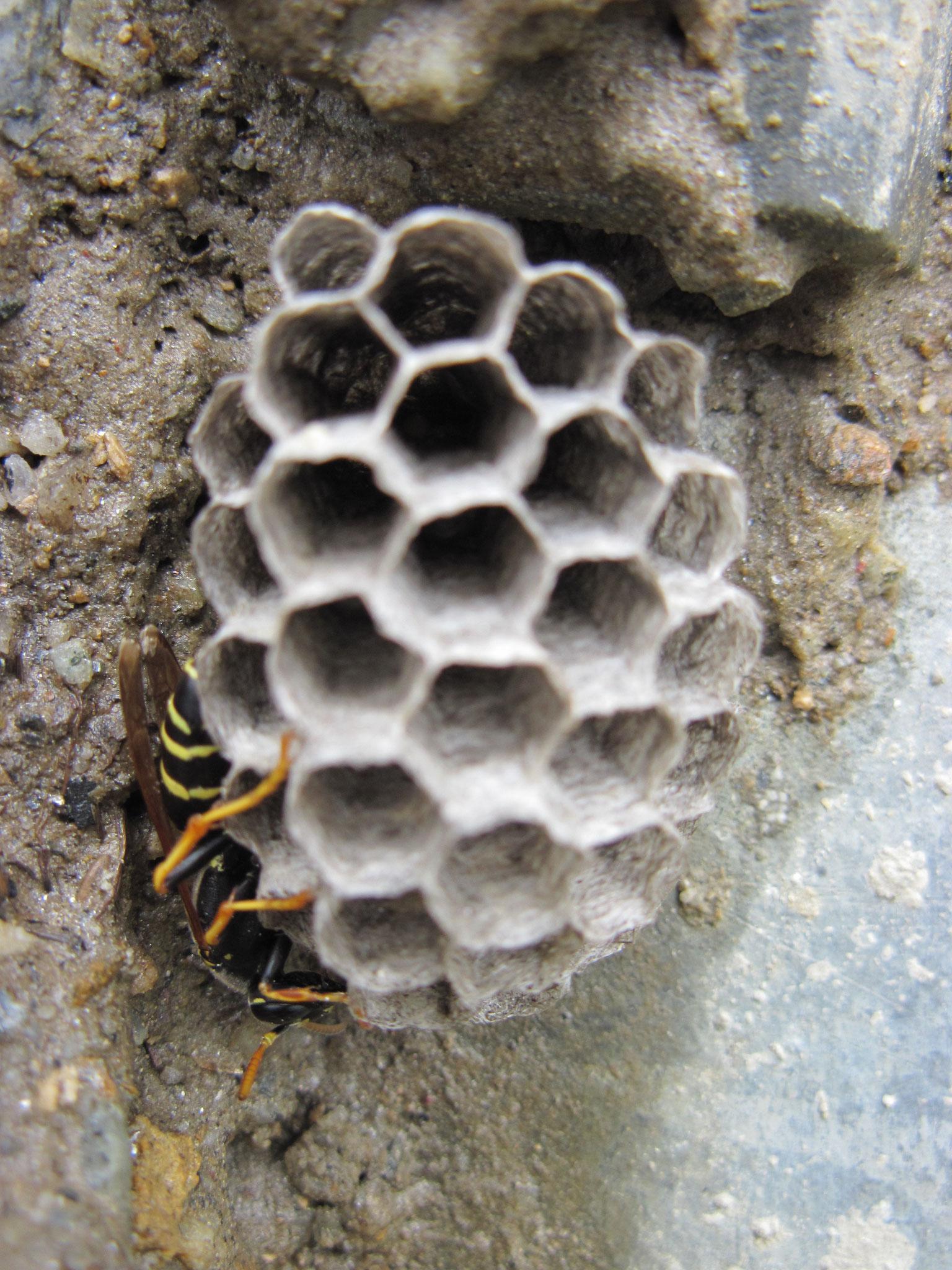 Wespe sucht Unterschlupf