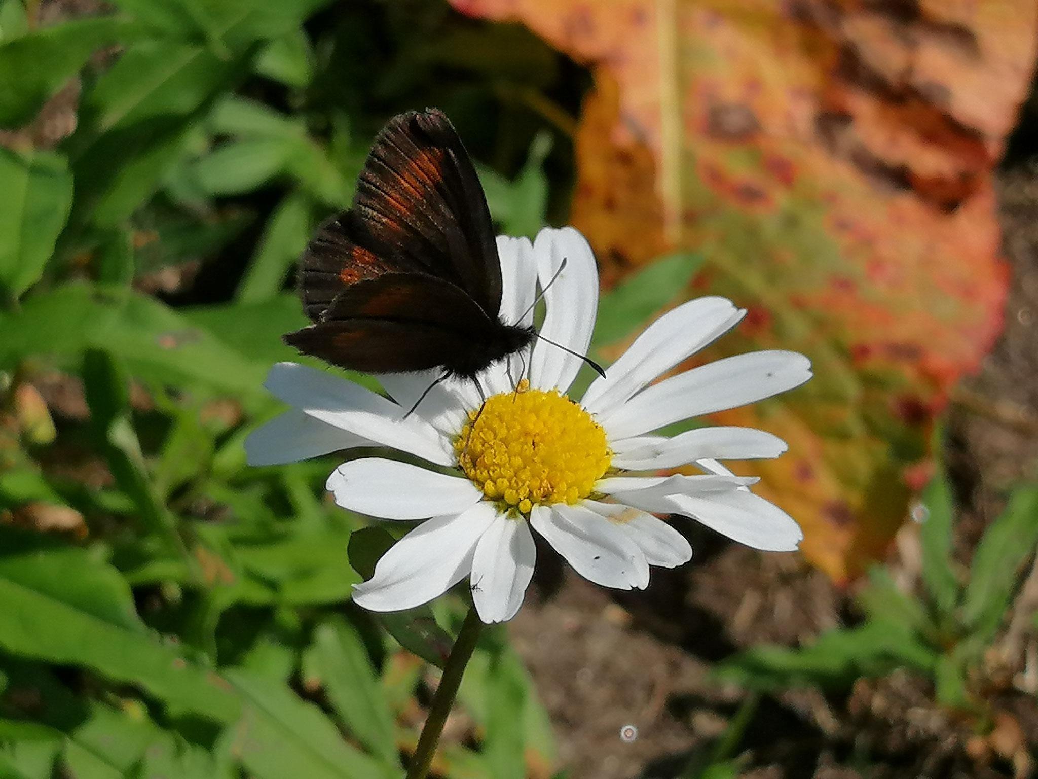 Margrithe mit Schmetterling