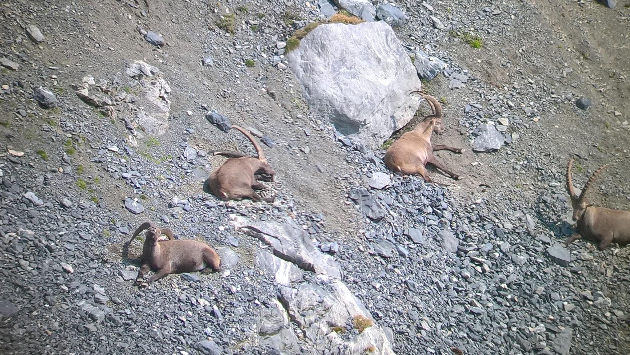 Steinböcke fotografiert durch den Feldstecher mit dem Natel