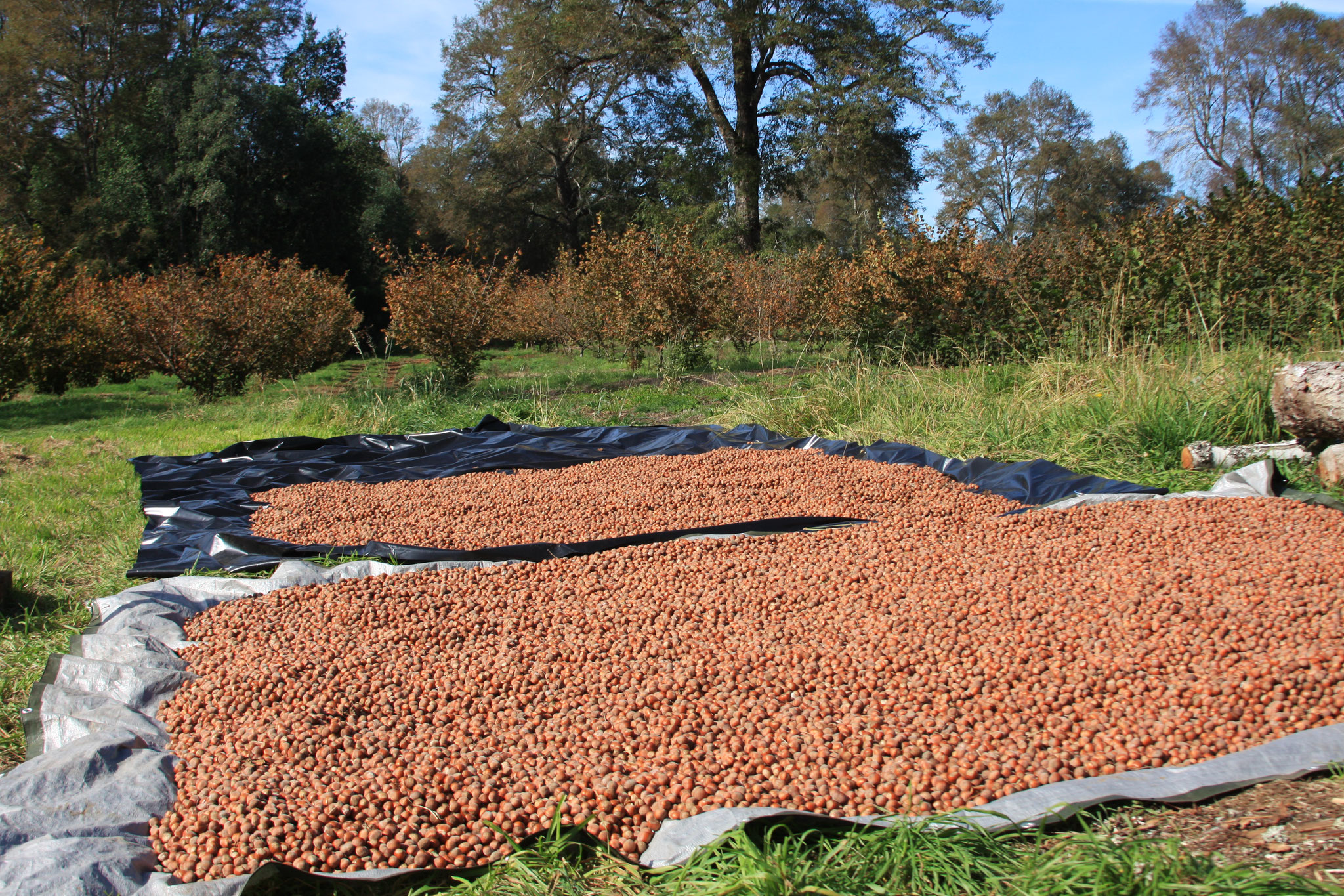 Drying Hazelnuts