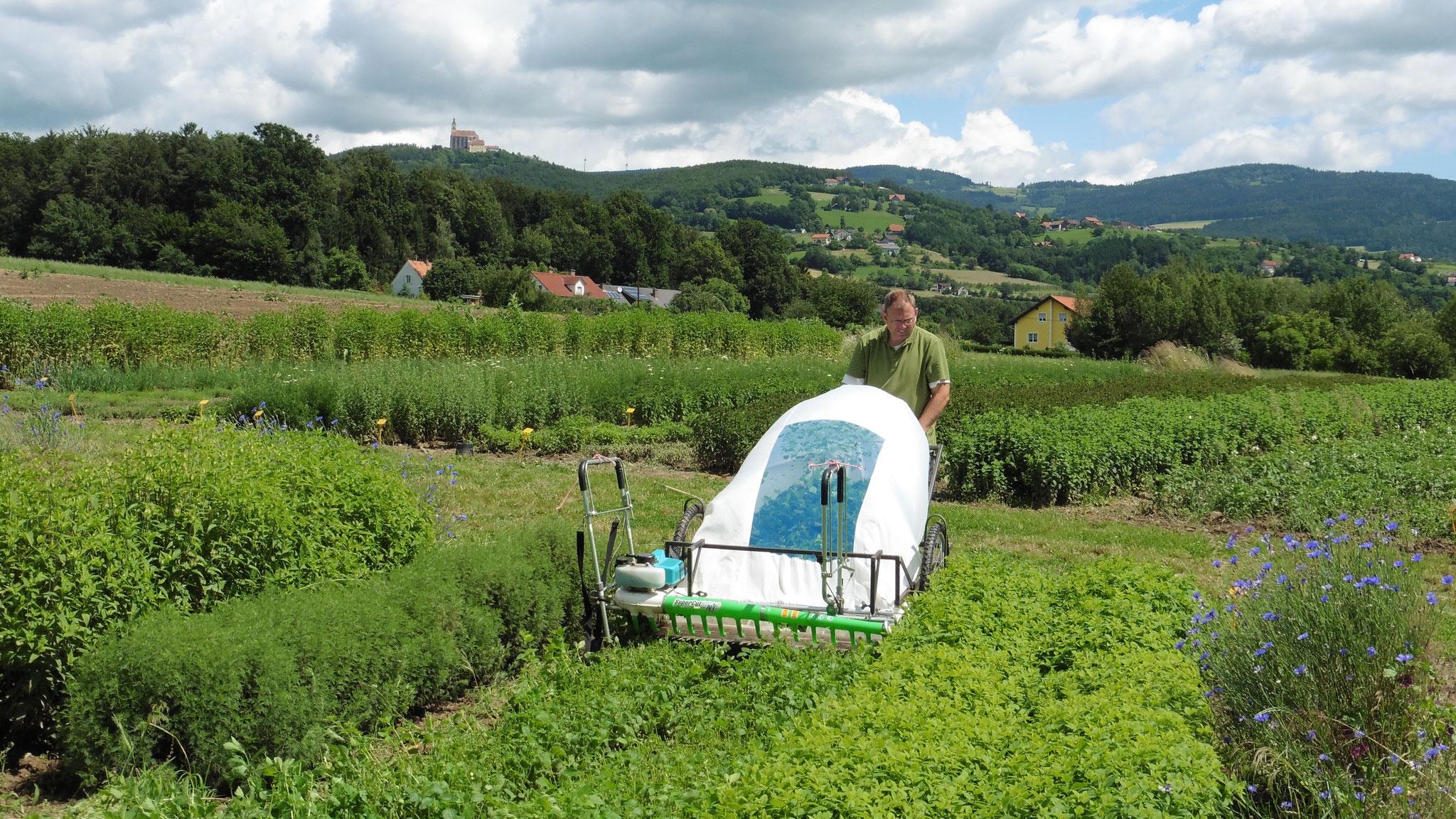Zitronenmelisse: Ernte mit dem Pöllauer Cutmobil