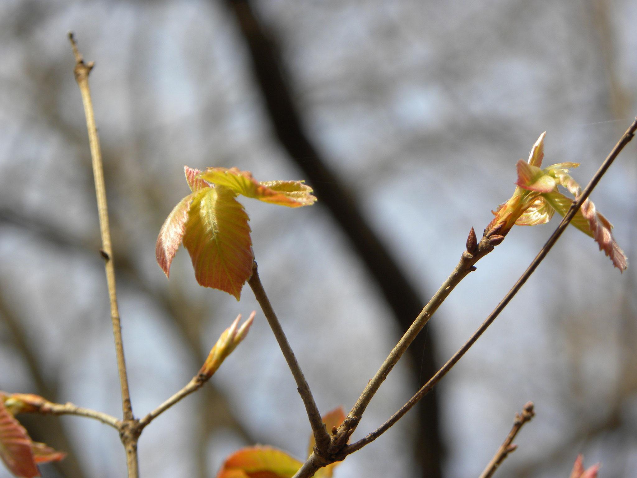 コナラの芽吹き 自然林