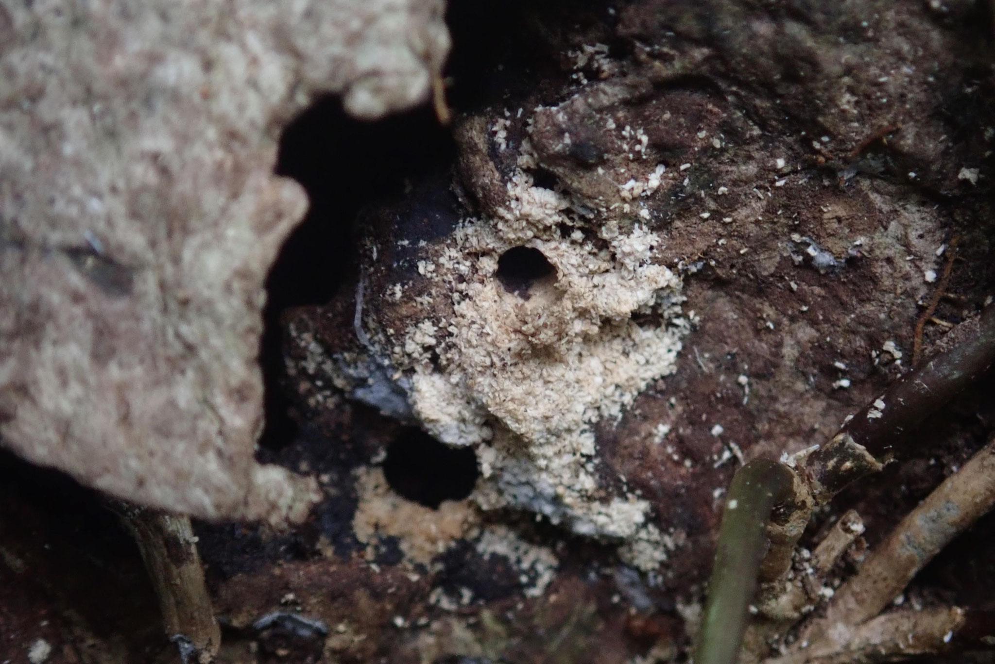 カシノナガキクイムシの仲間の被害を受けているコナラ