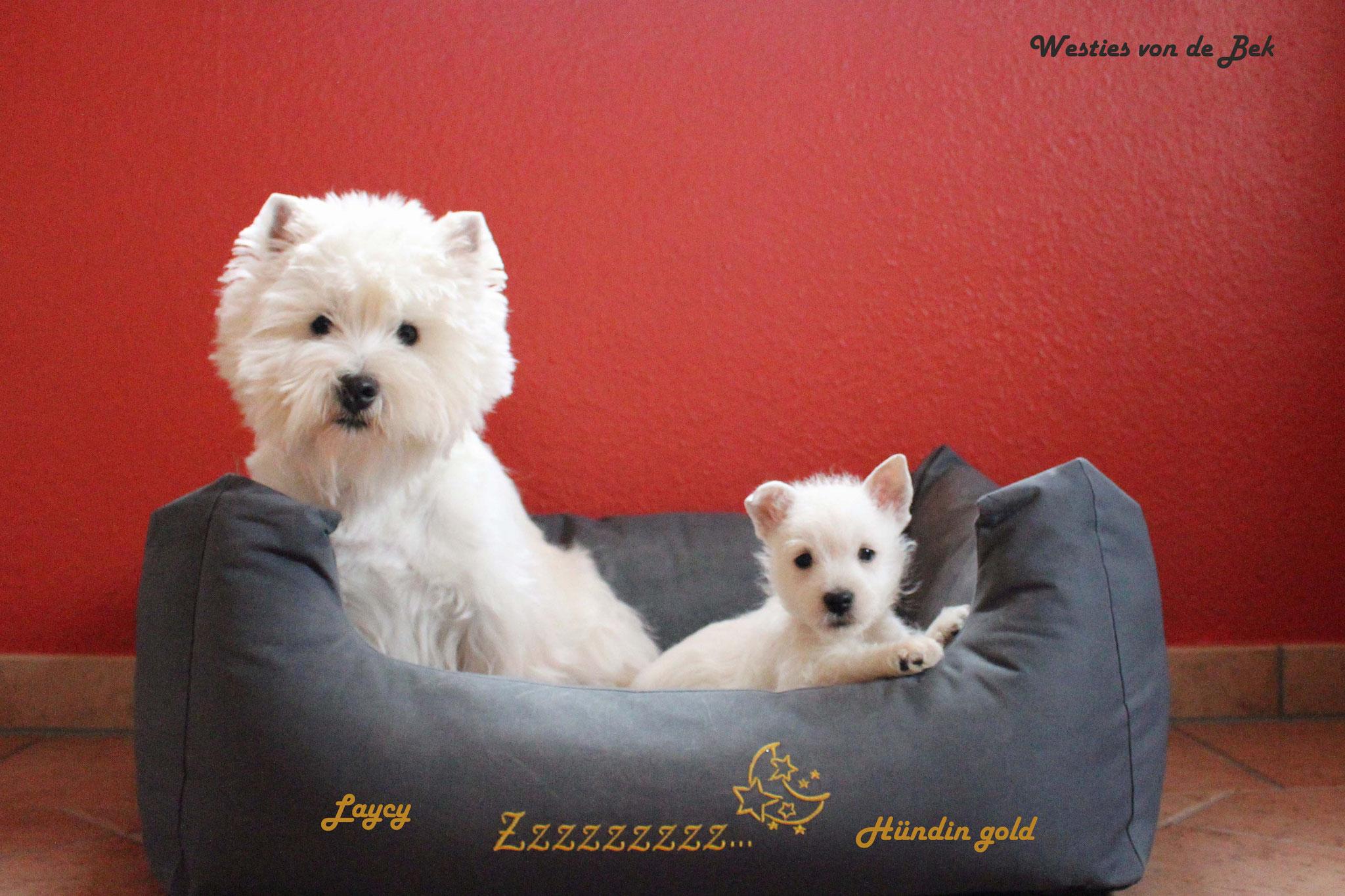 Hündin gold 8 Wochen alt und Laycy