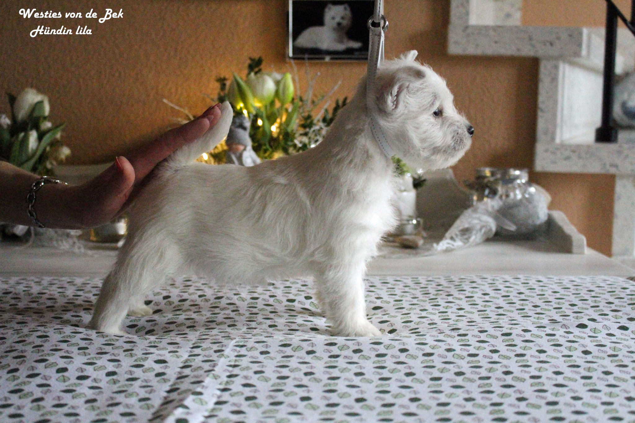 Hündin lila 7 Wochen alt