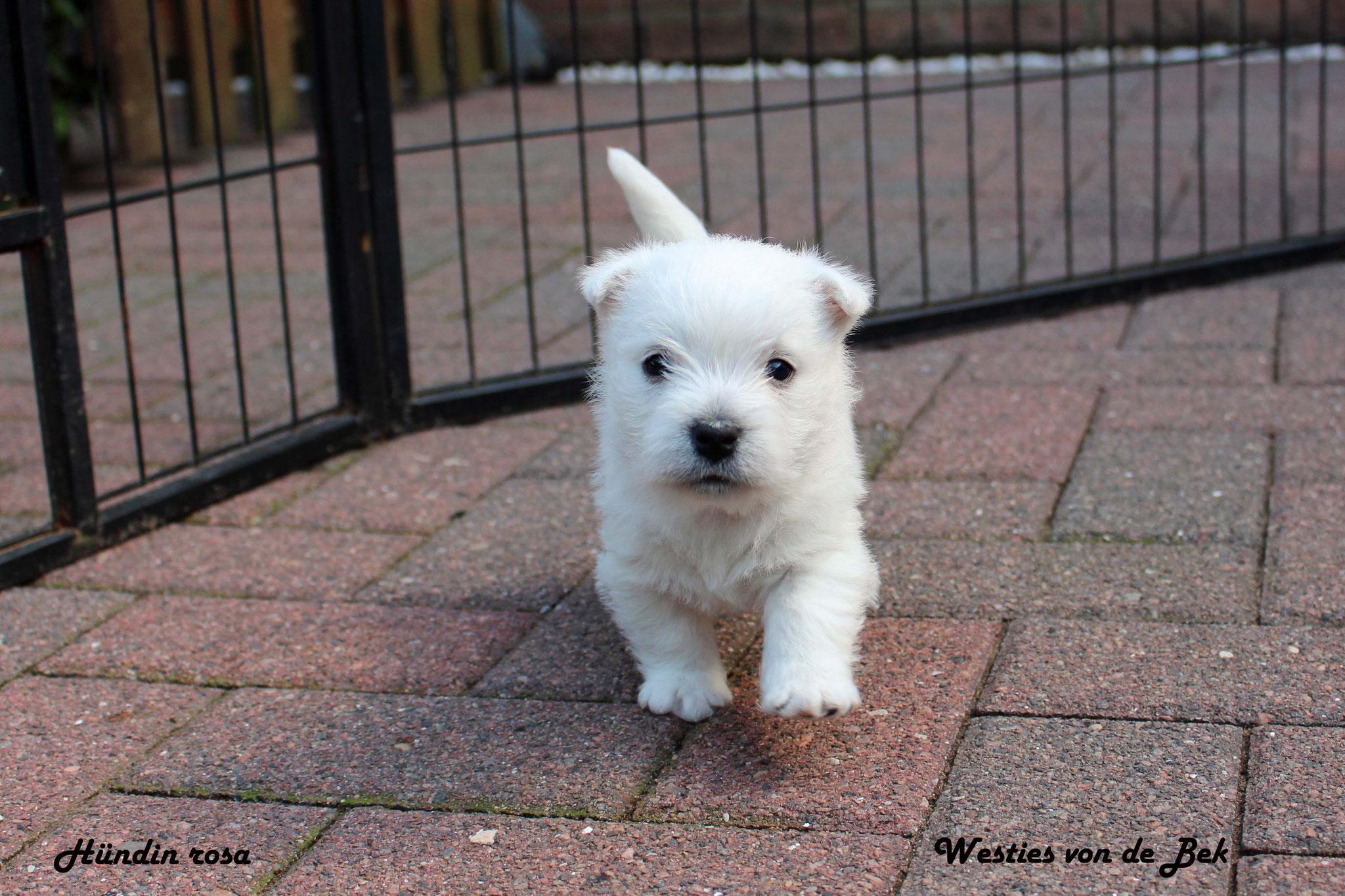 M-Wurf Hündin rosa 4 Wochen alt