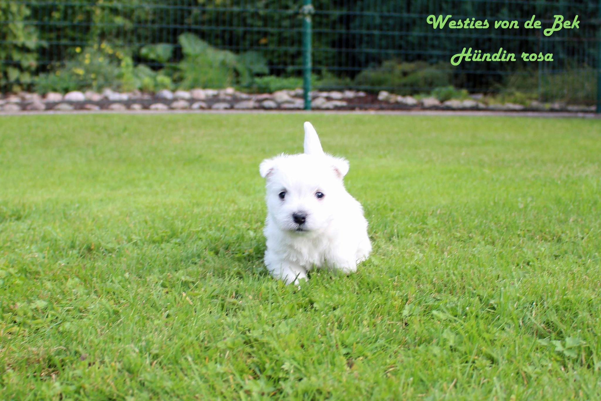 M-Wurf Hündin rosa 5 Wochen alt