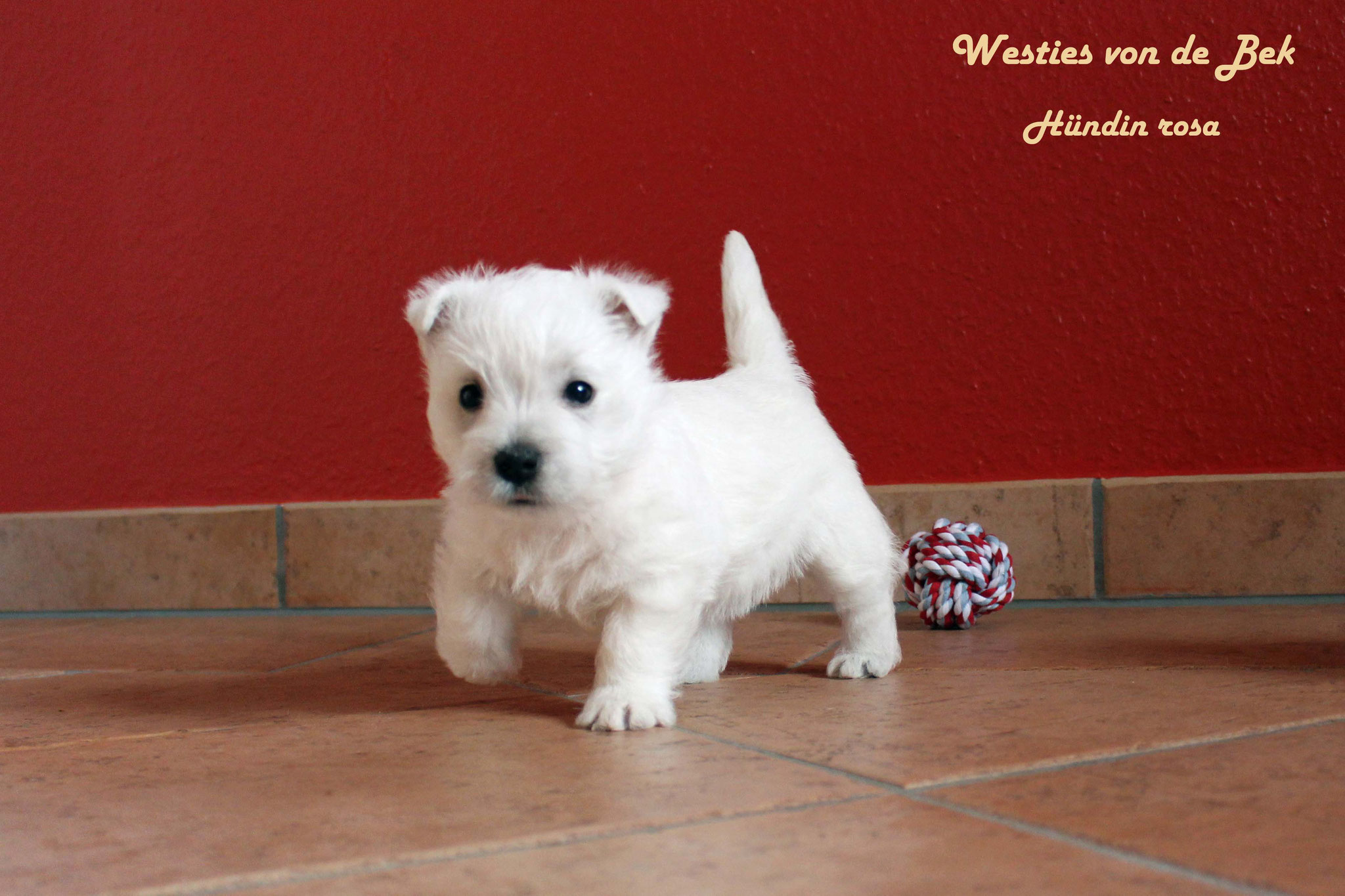 M-Wurf Hündin rosa 6 Wochen alt