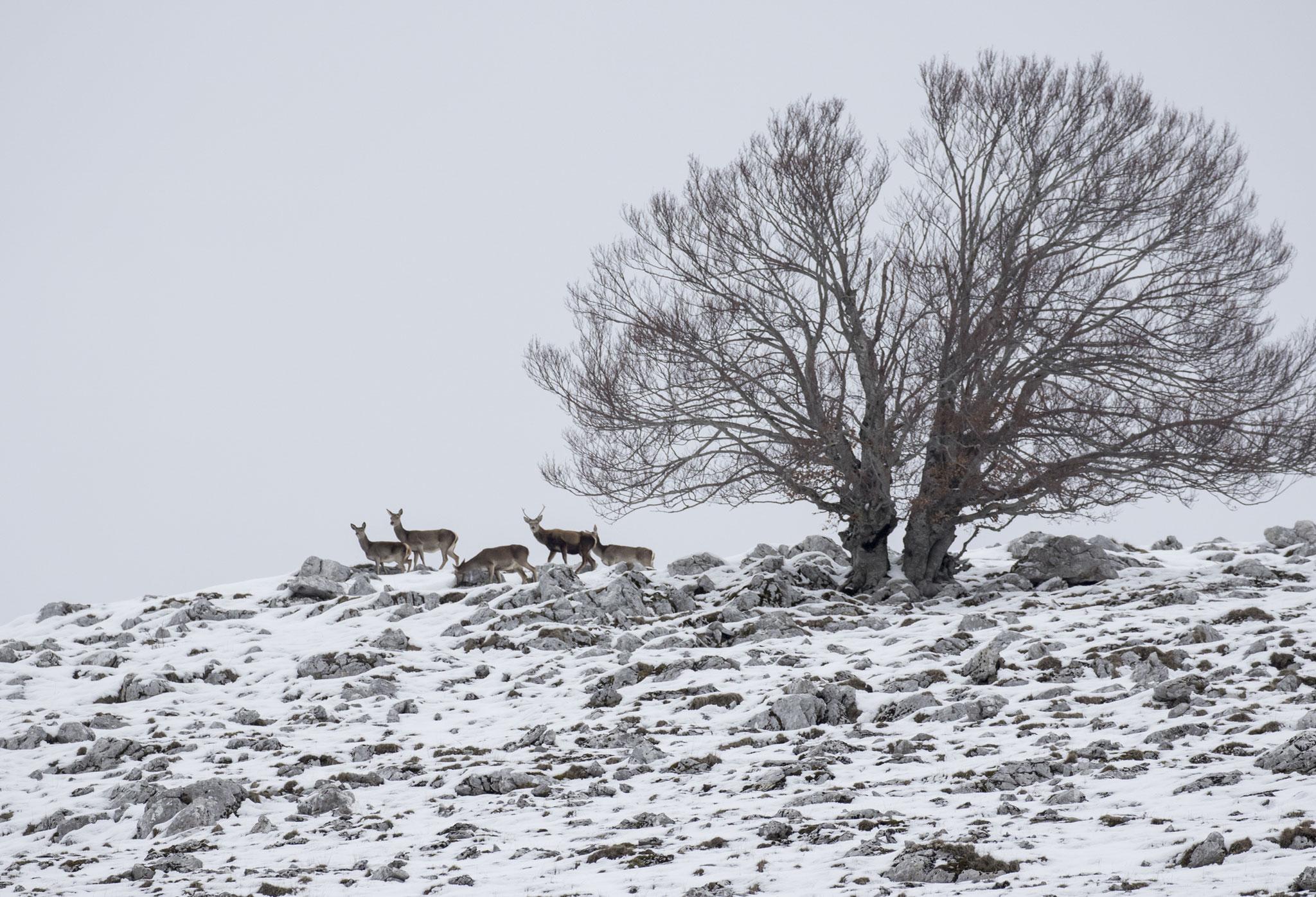 Cervi in inverno