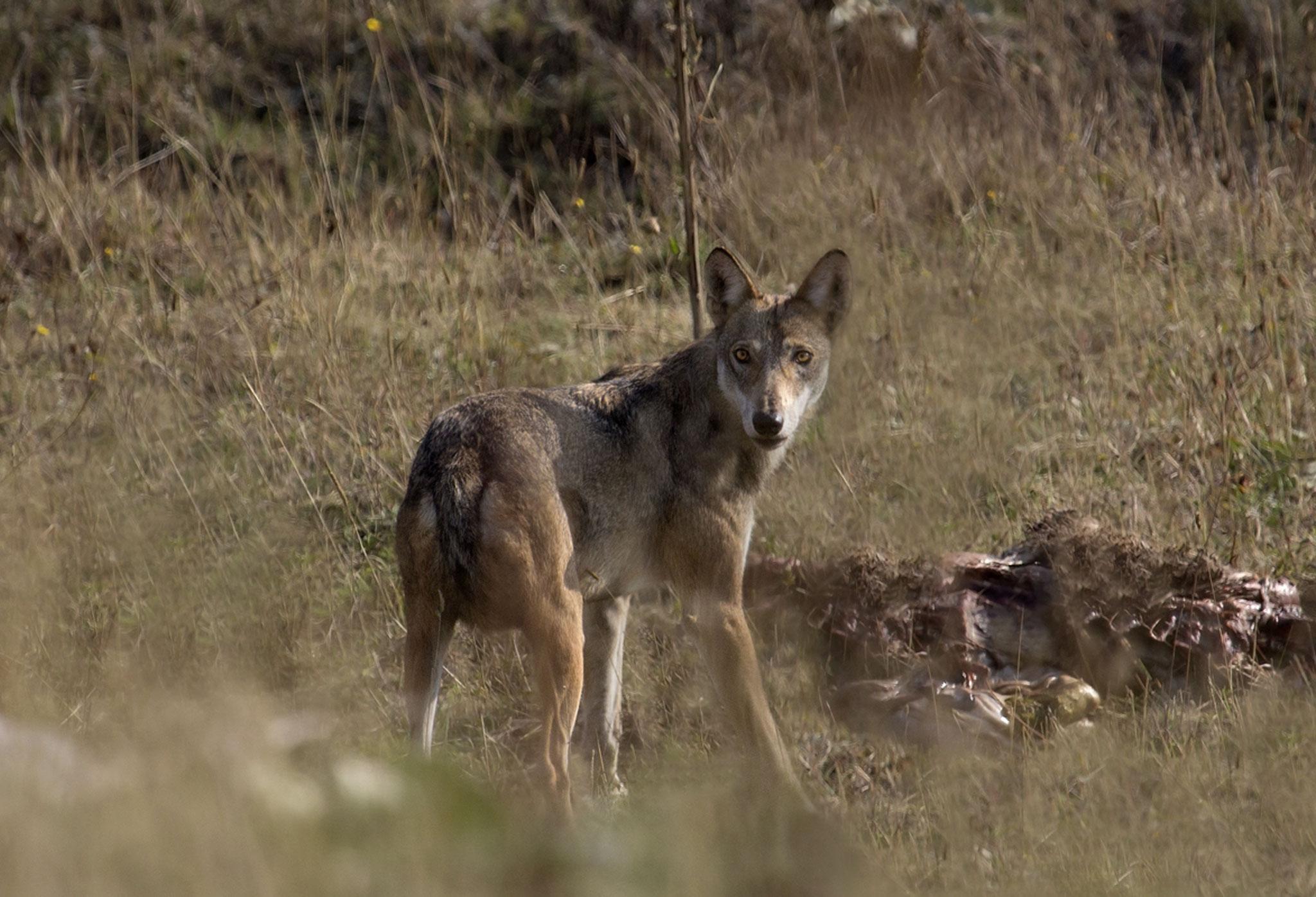 Lupo (Canis lupus), intento a mangiare una carcassa di pecora