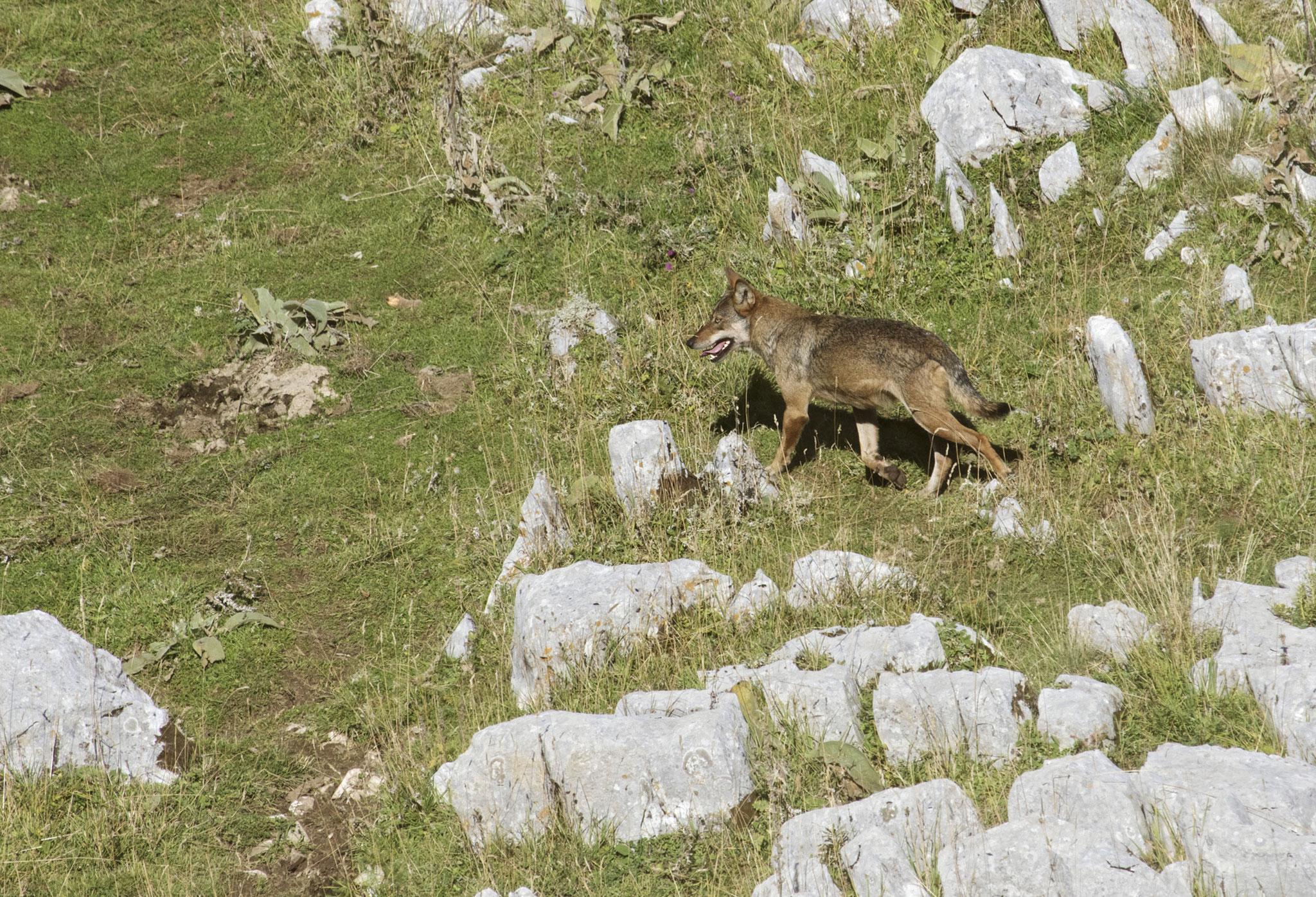 Un giovane lupo sorpreso a cacciare in pieno giorno in montagna