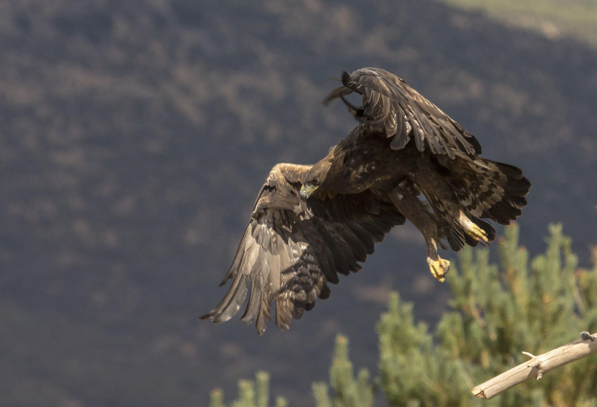 Aquila reale