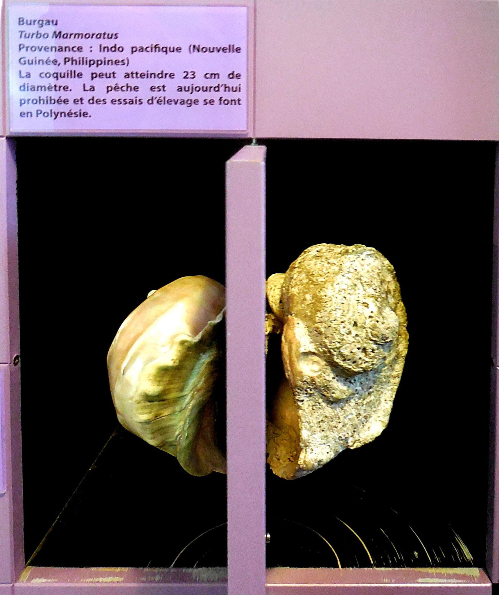 Burgau, un des principaux substituts de la nacre