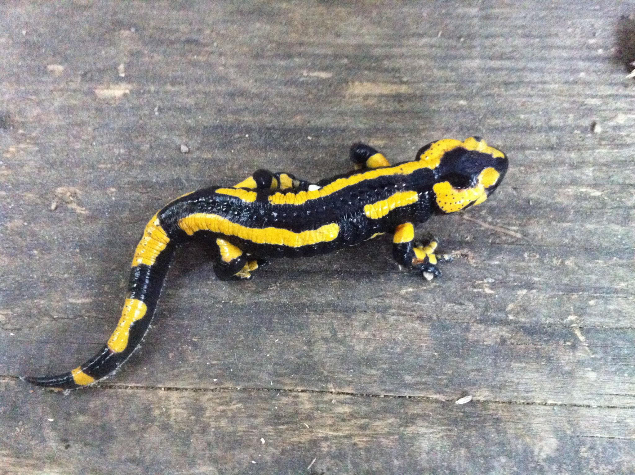 Salamandre en visite