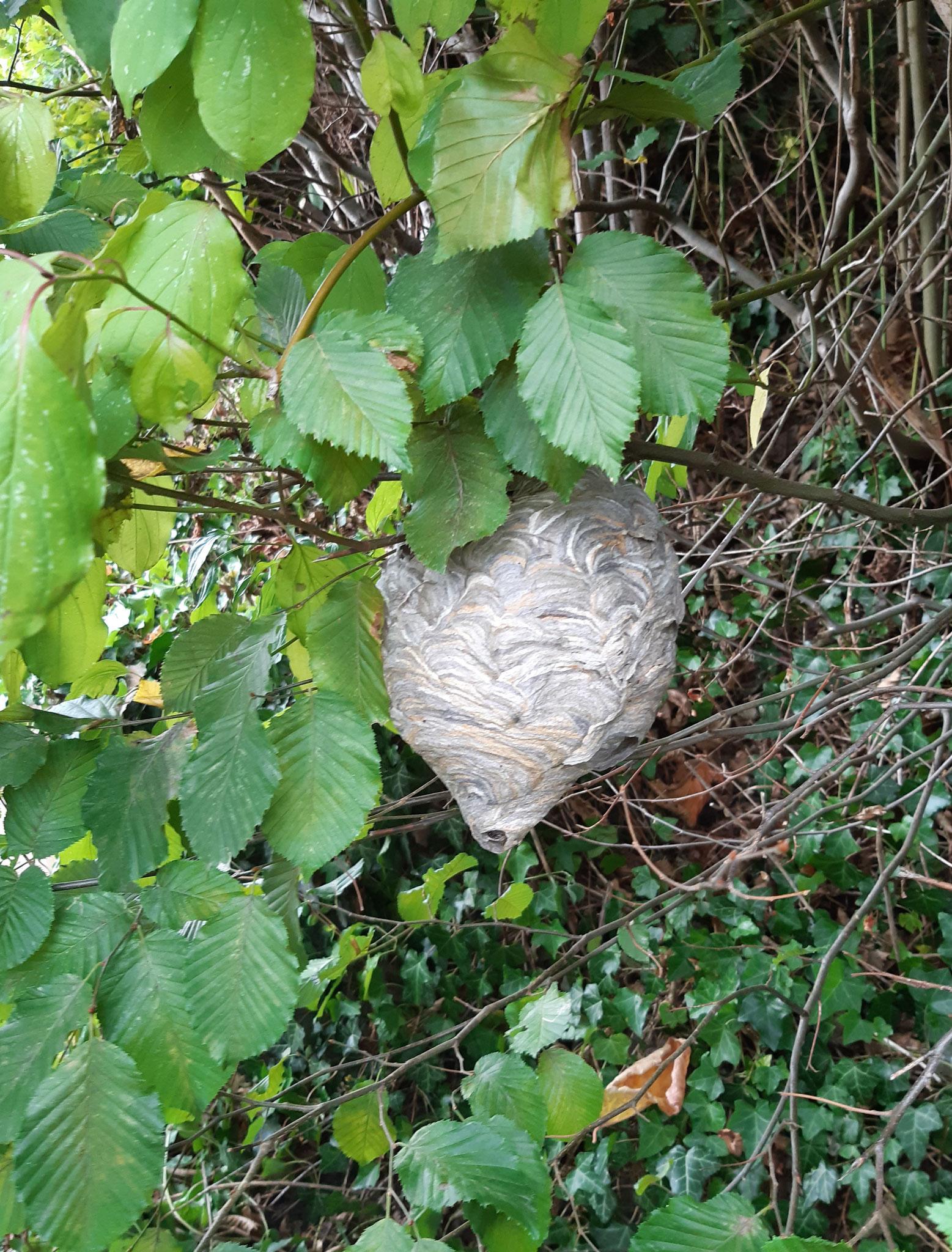 Nest einer Mittleren Wespe, Fundort: Gernsbach
