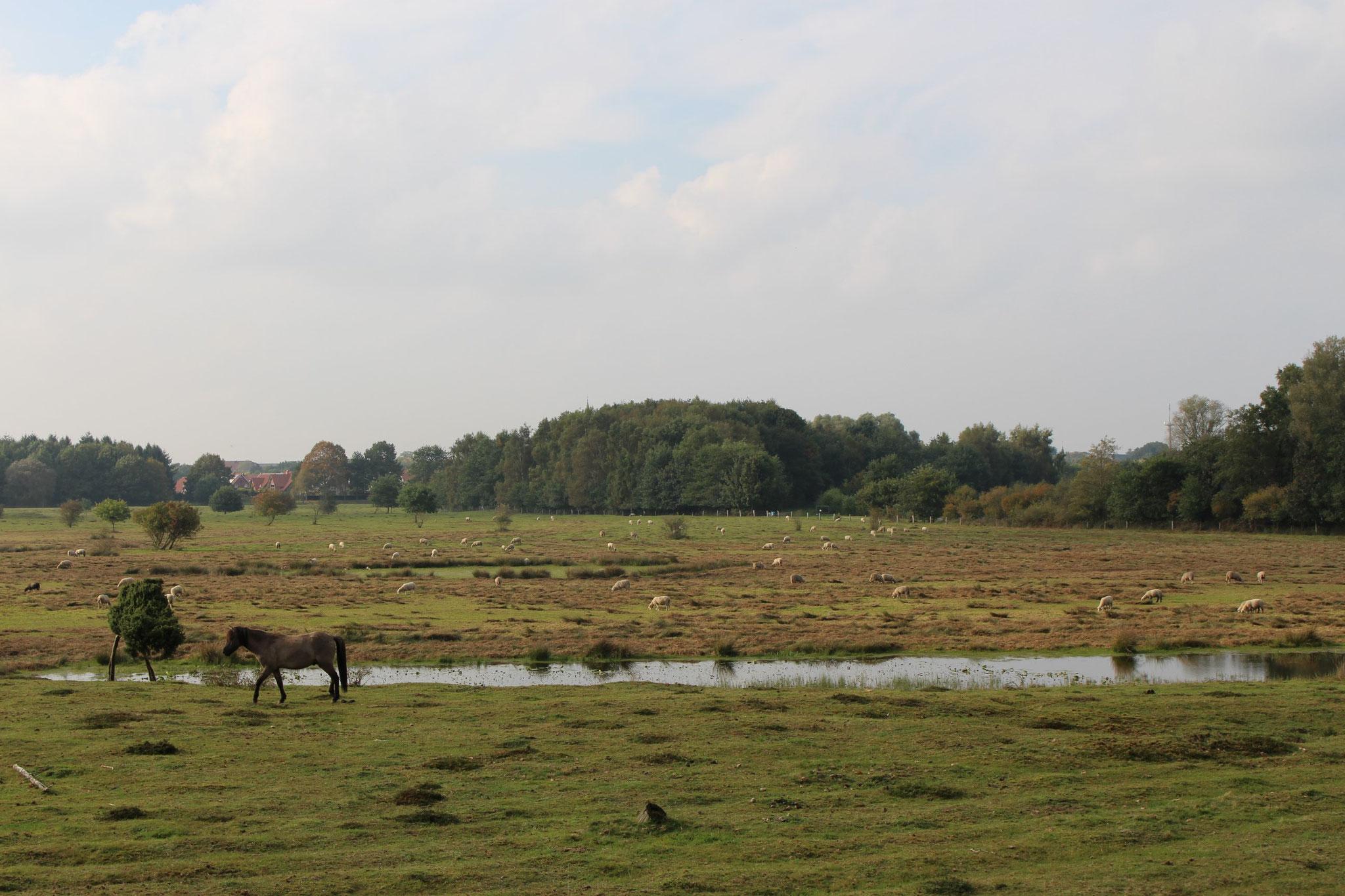 Schafe und Pferde sorgen dafür, dass das NSG nicht zuwächst (Foto: C. Marien)