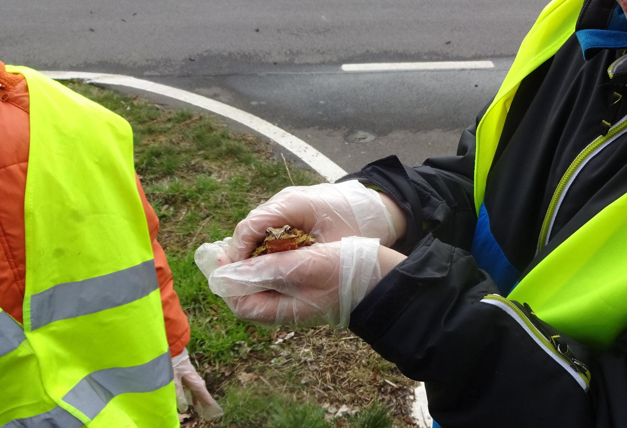 Auch dieser Grasfrosch wurde sicher über die Straße gebracht - es ist ein erster Frühlingsbote in Plaußig-Portitz. </p>Foto: Mario Vormbaum