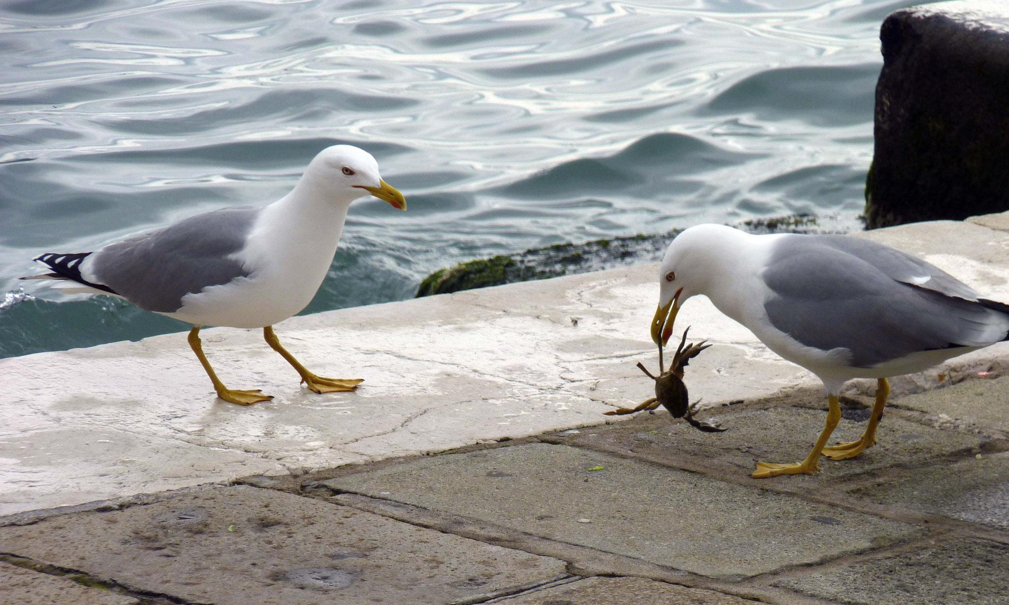 Repas de goélands - Venise - Italie