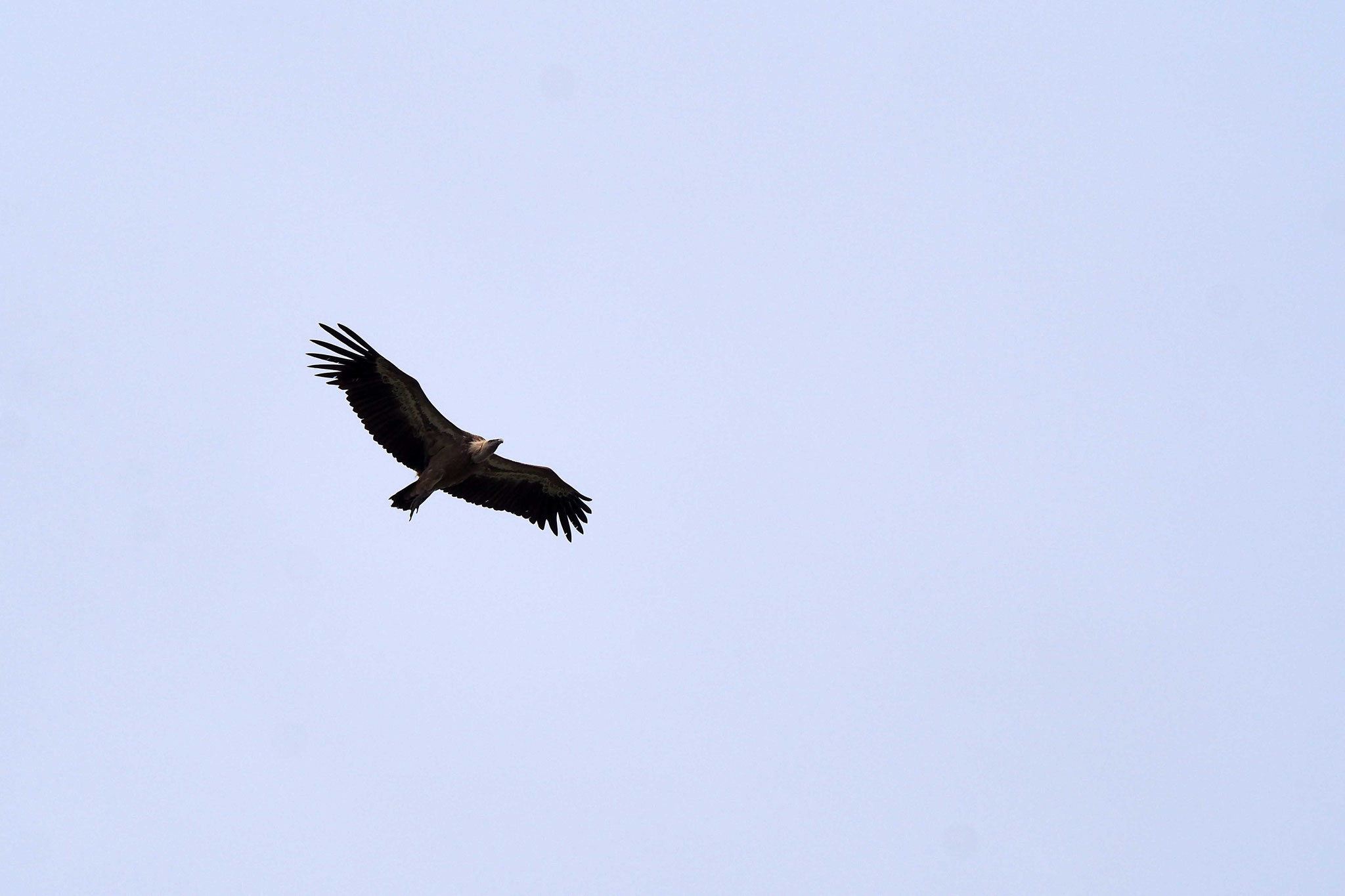 Les vautours du Parc de Monfragüe - Espagne