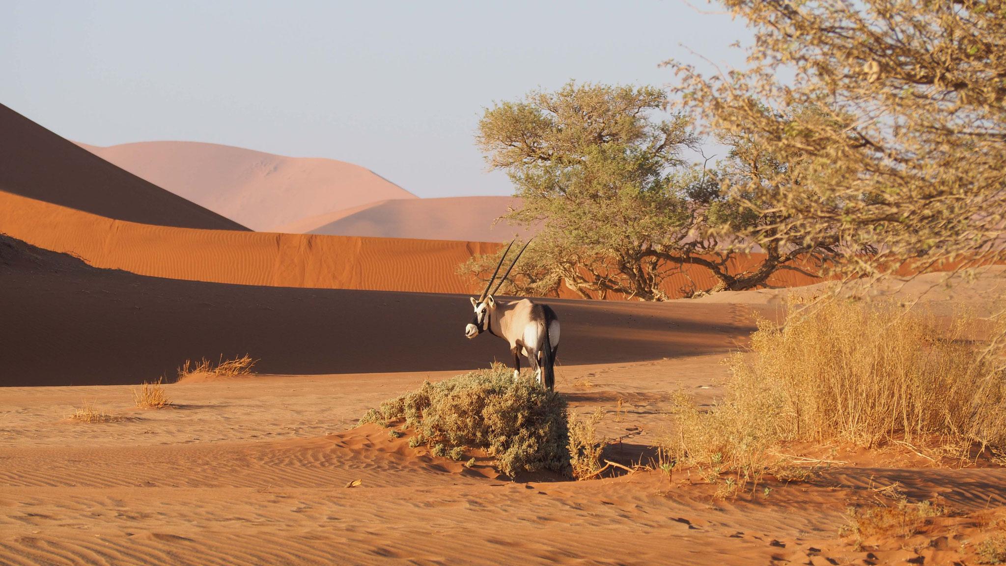 Oryx dans le désert - Namibie