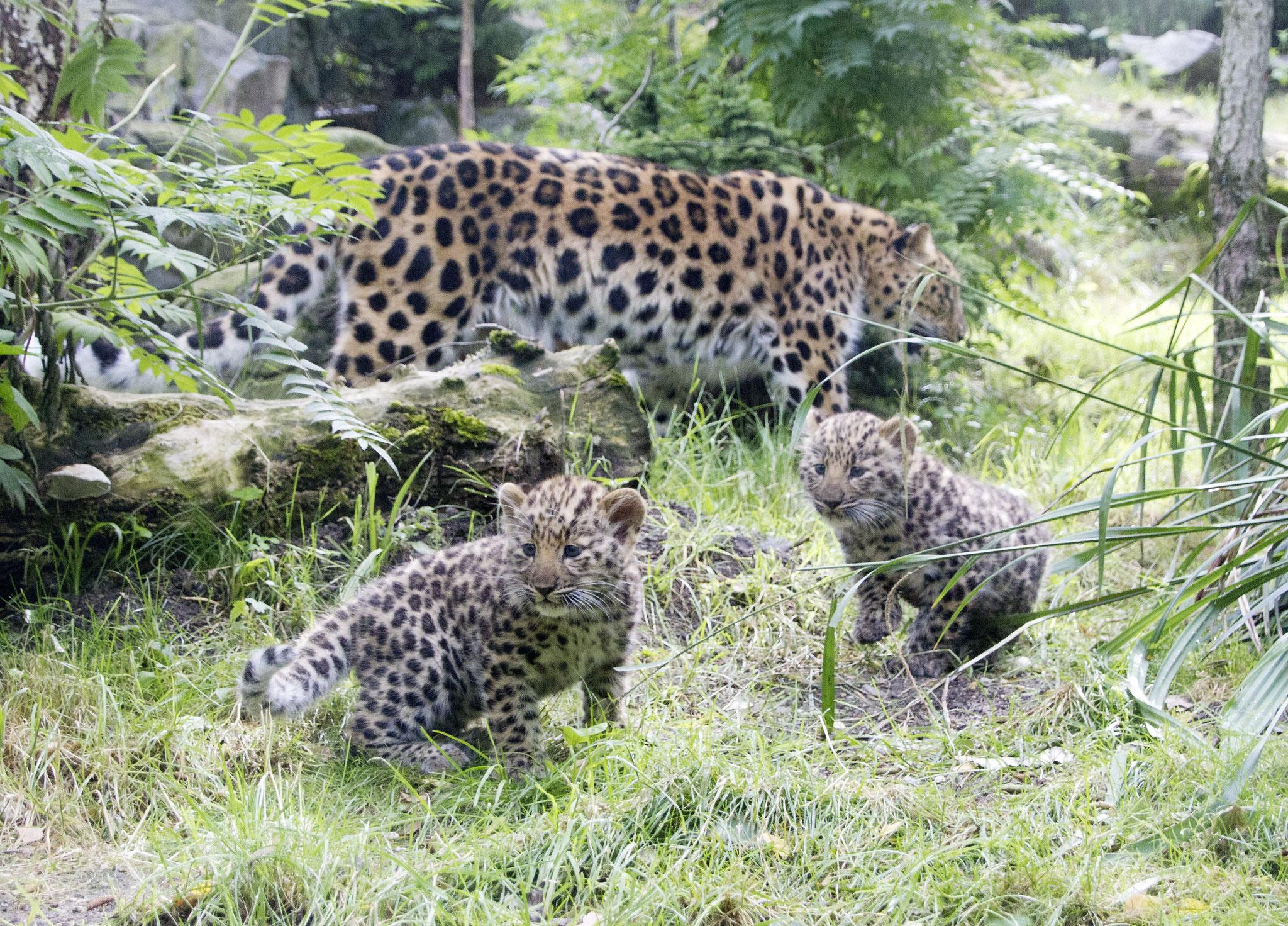 Amurleopardin mit Jungtieren