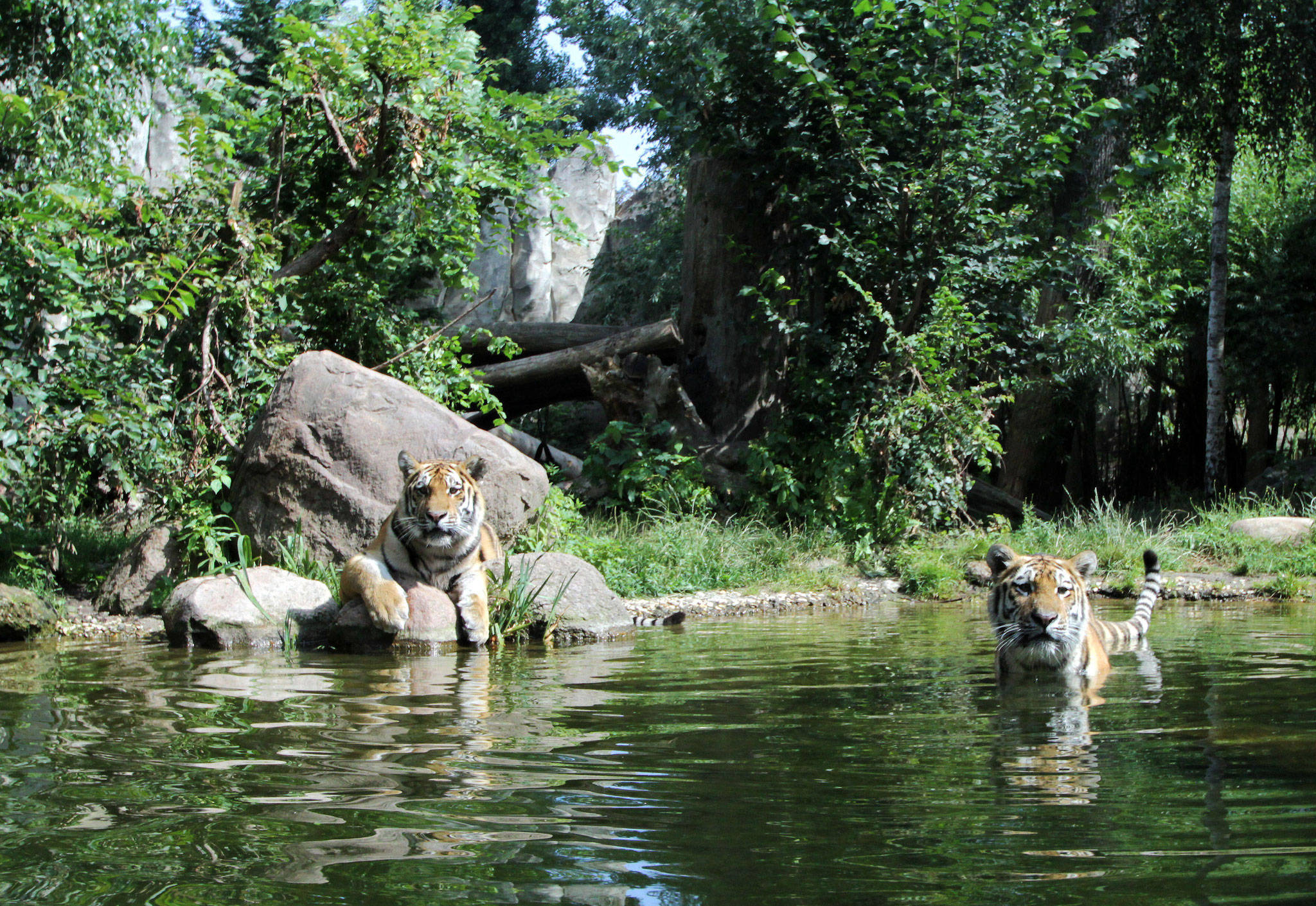Amurtiger in der Tiger-Taiga